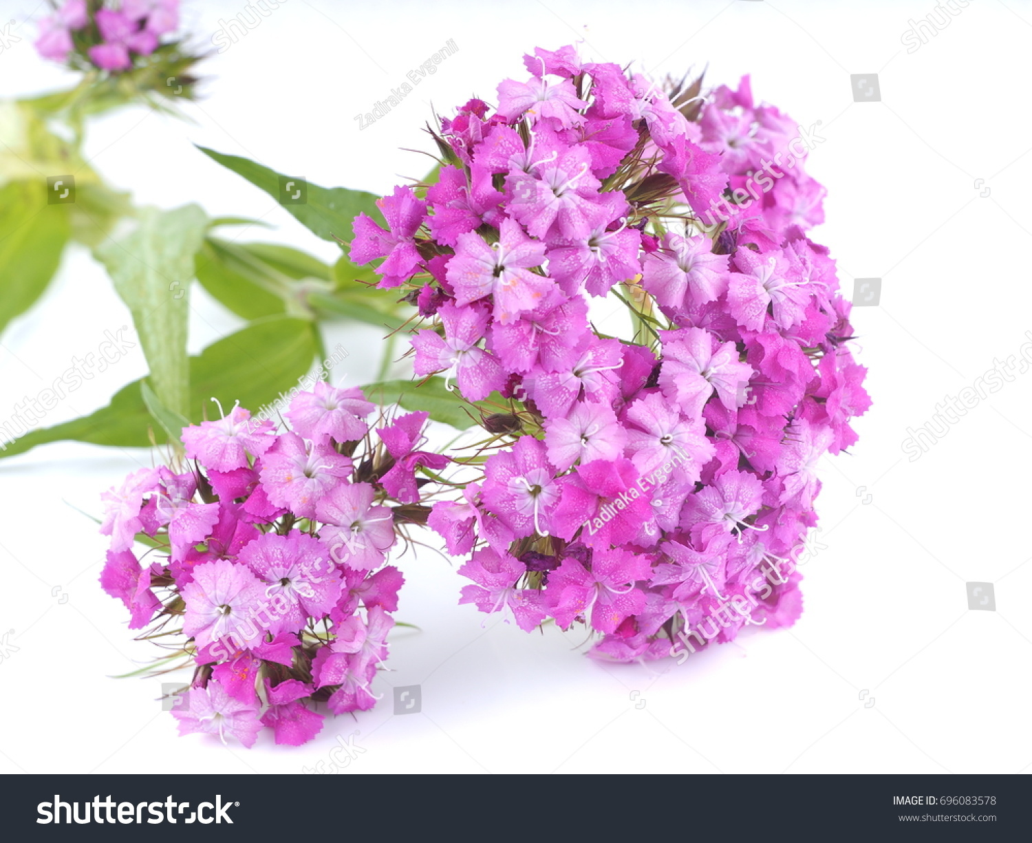 Carnations Flowers On White Background Ez Canvas