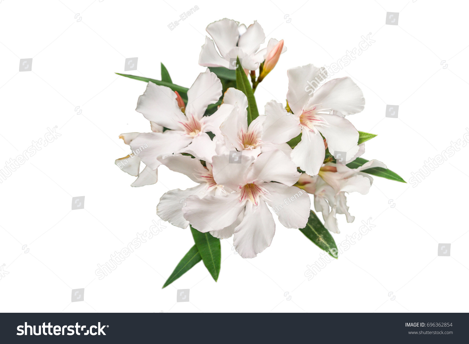 White Oleander Flower Isolated On White Stock Photo Edit Now