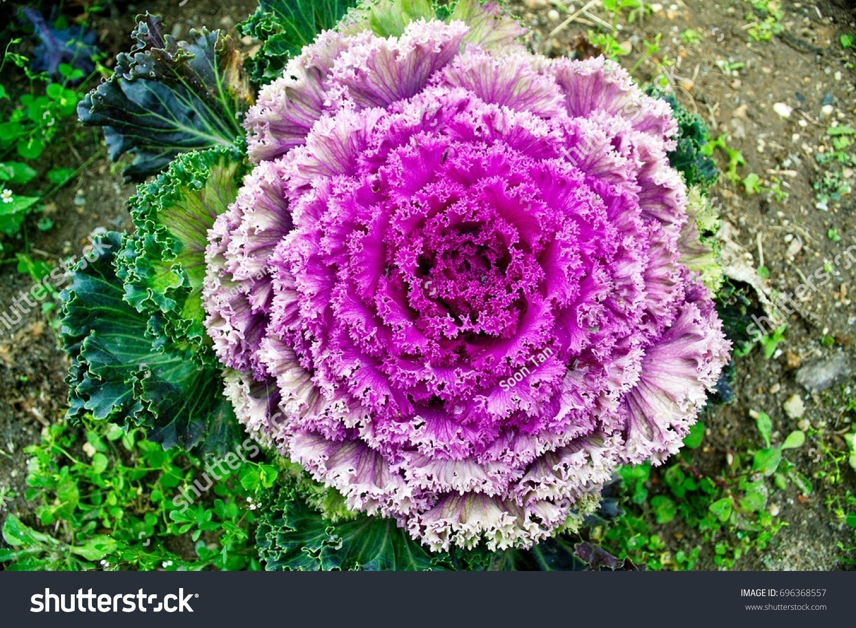 Purple White Cabbage Flowers Garden Stock Photo Edit Now 696368557