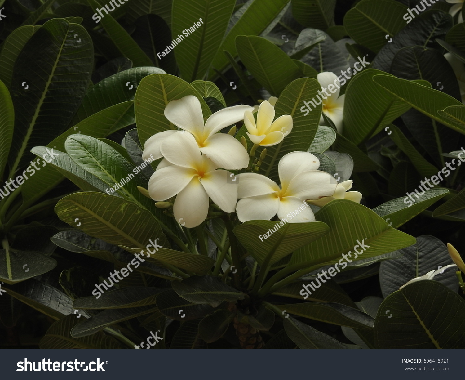 Magnolia Flower Blooms August Hyderabad India Stock Photo Edit Now
