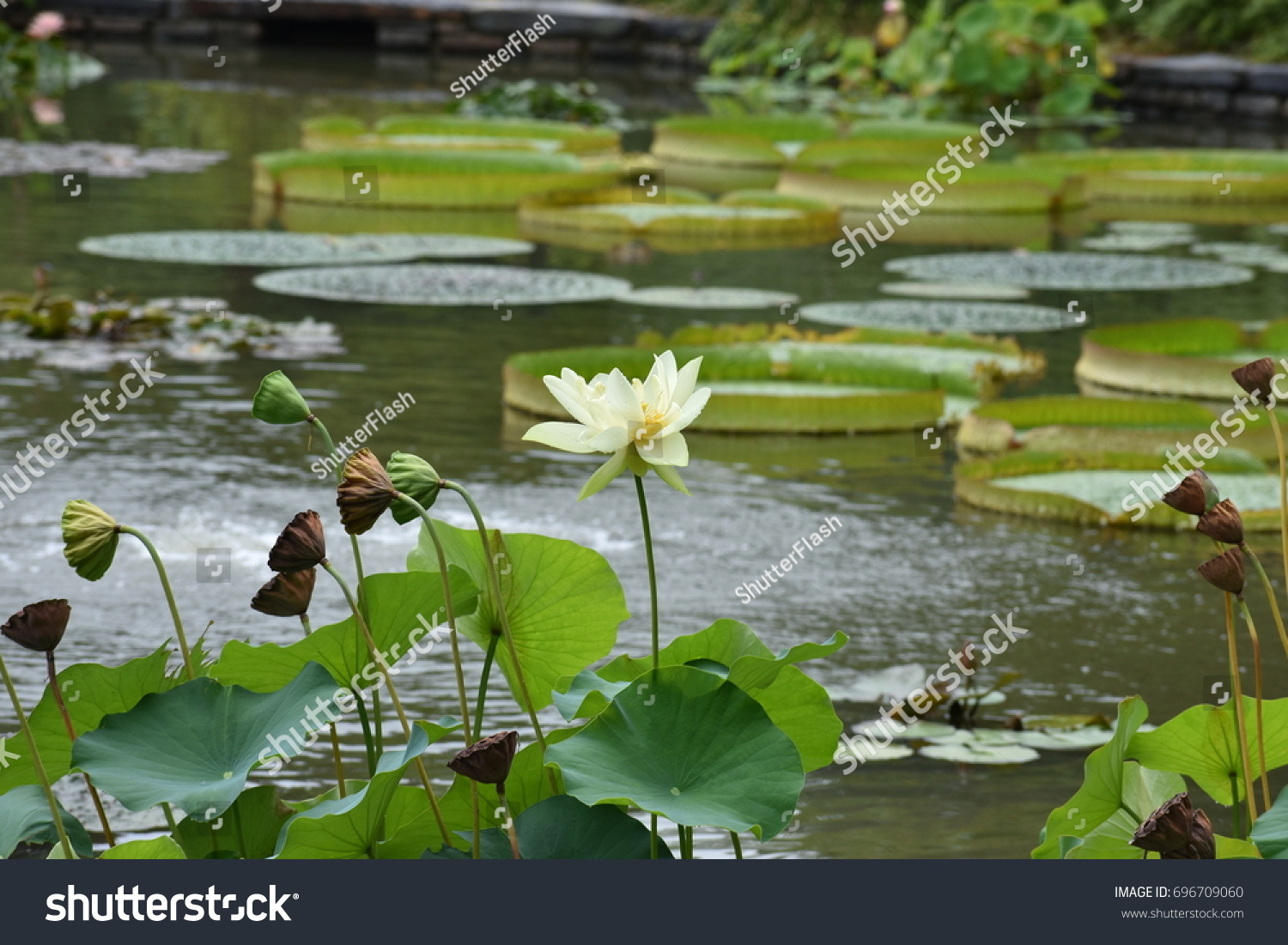 American lotus pale yellow white flower stock photo edit now american lotus or pale yellow white flower with bowl shaped leaves and giant lily pads in izmirmasajfo