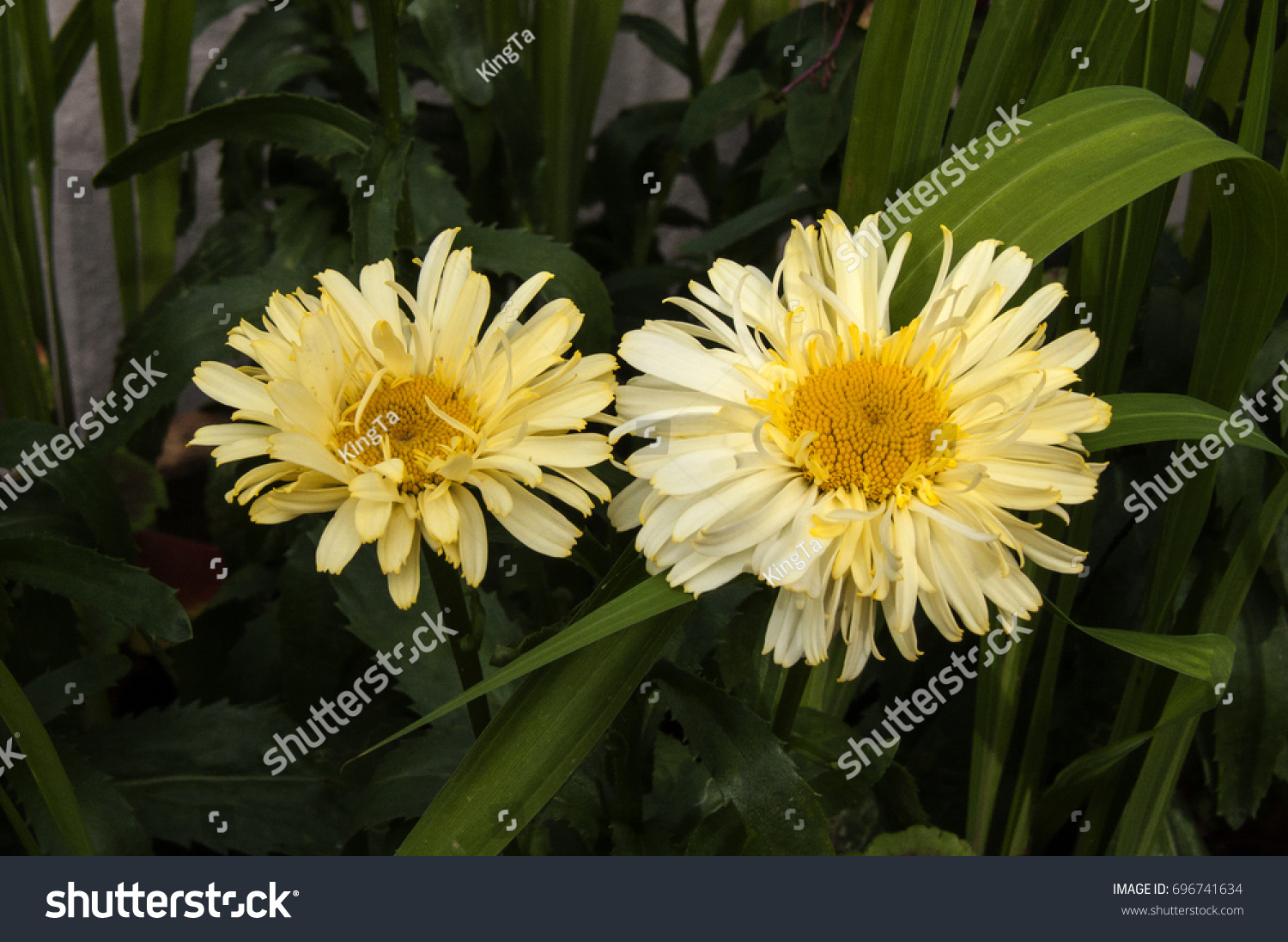 Two Yellow Daisies Flowers With Dark Green Background Ez Canvas