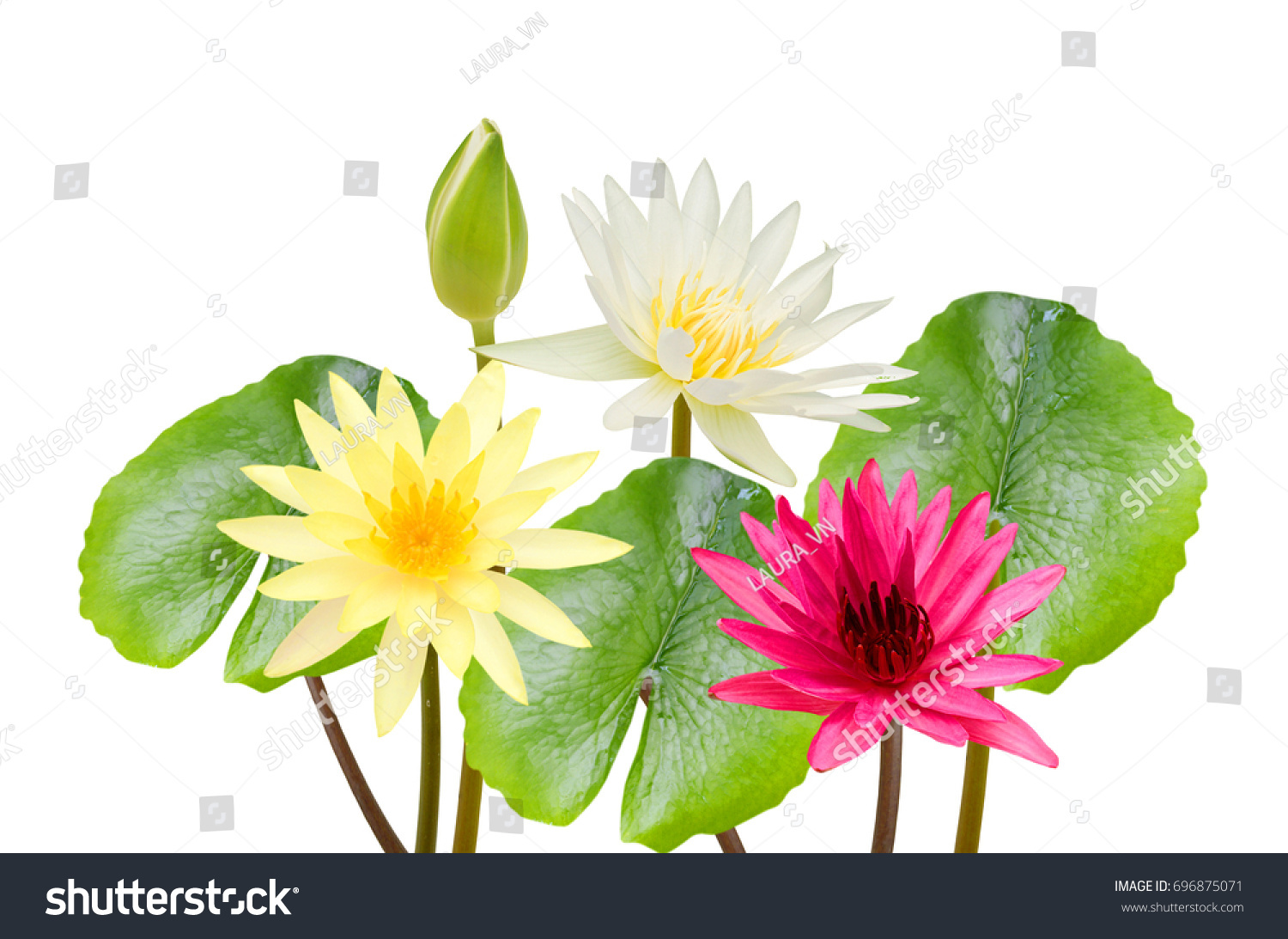 Beautiful Water Lily Flowers Isolated On Stock Photo Royalty Free