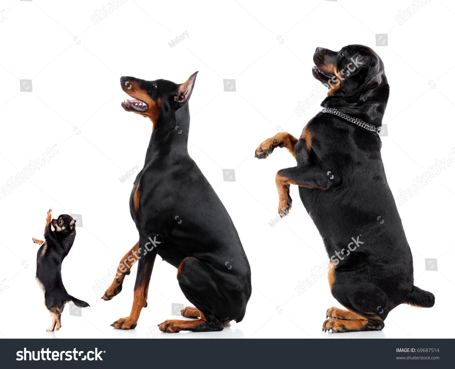 Royalty-free Group of dogs (Chihuahua, Doberman ...