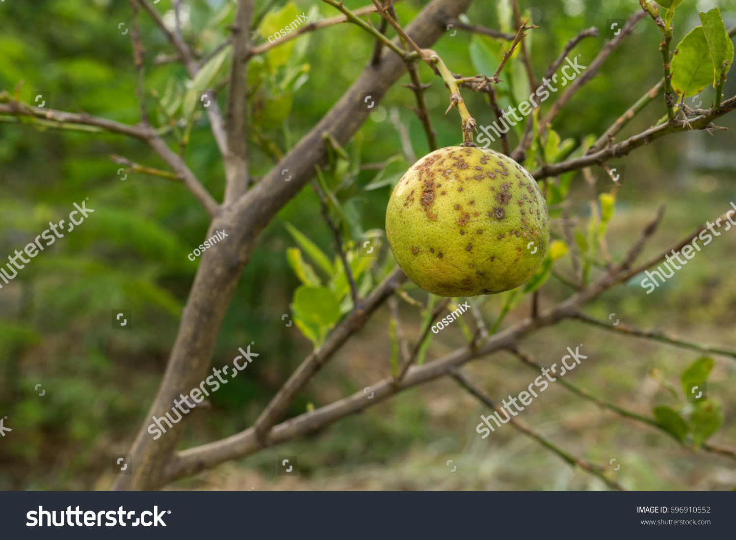 Lime Disease Bacteria Main Problem Agriculture Stock Photo
