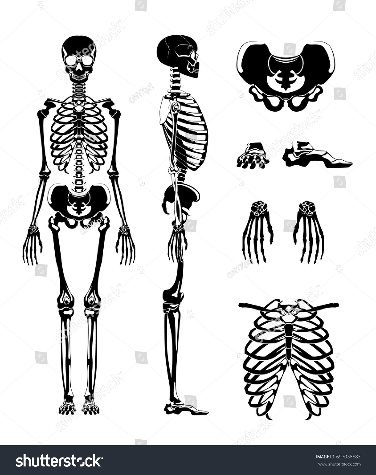Vector Silhouette Human Skeleton Anatomy Pictures Stock Vector