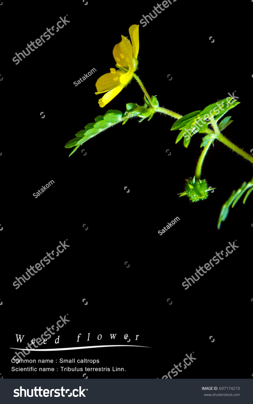 Yellow Flower Small Caltrops Weed Isolated Stock Photo Royalty Free