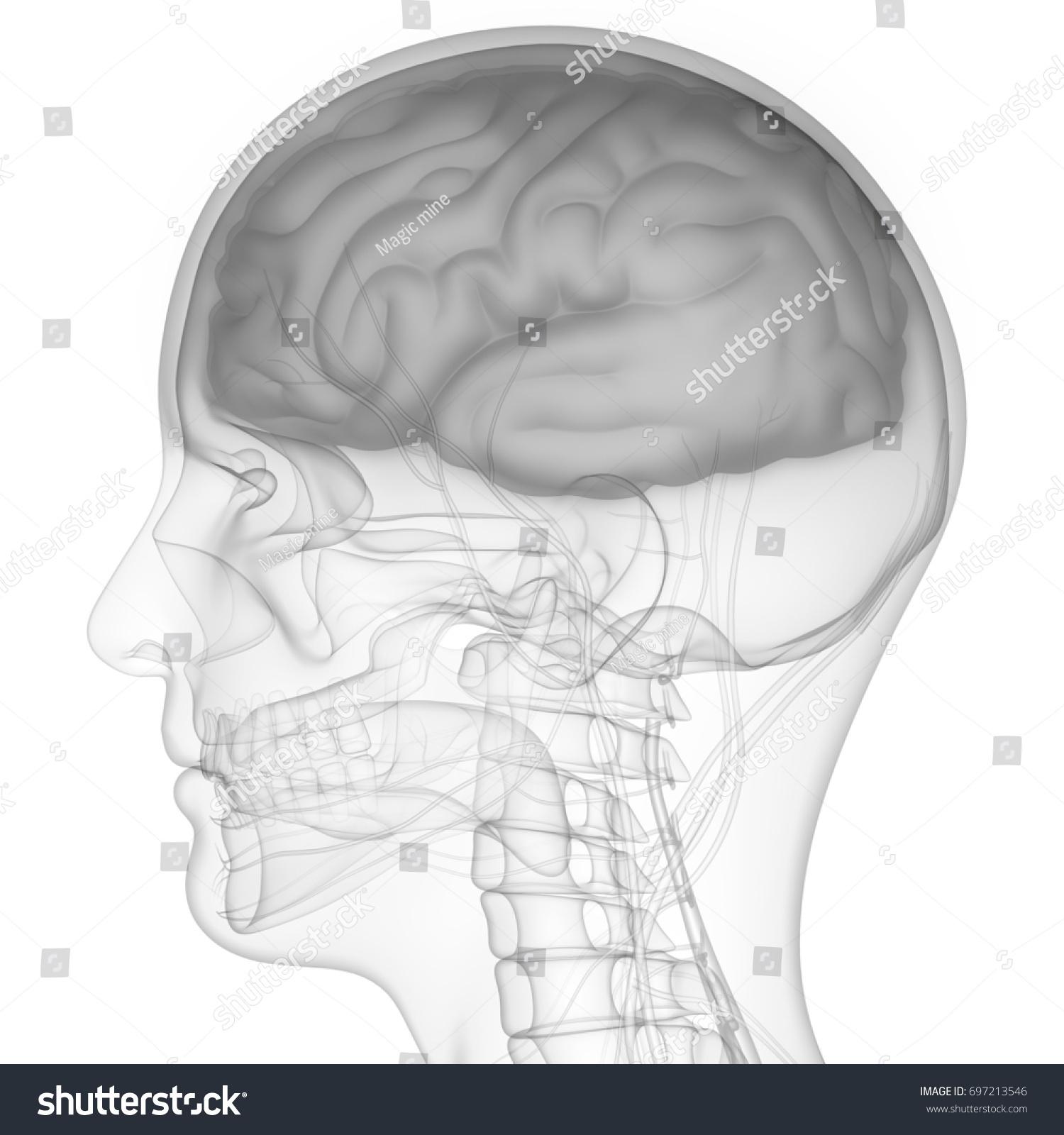 Human Brain Nervous System Anatomy 3 D Stock Illustration 697213546 ...