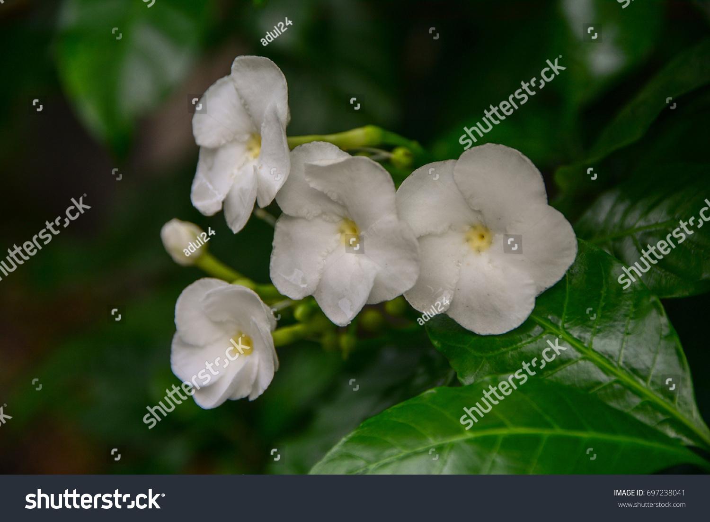 Cape jasmine gardenia jasmine flower stock photo edit now cape jasmine gardenia jasmine flower izmirmasajfo