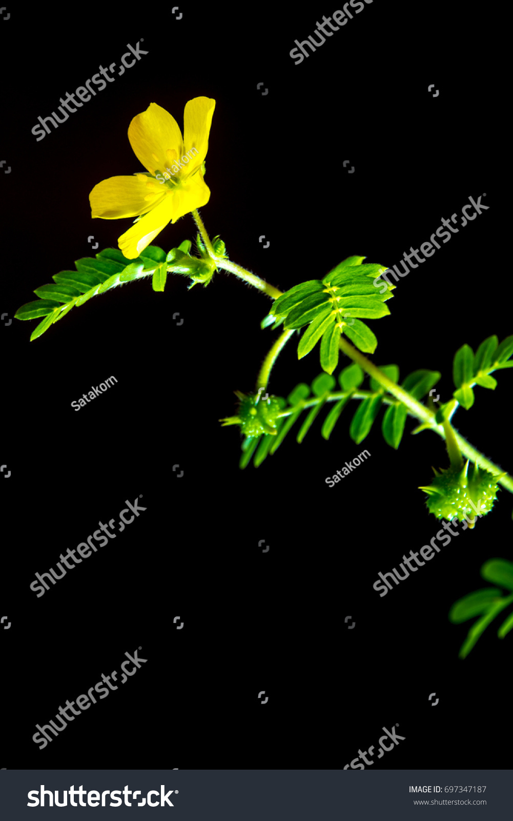 Yellow Flower Small Caltrops Weed Isolated Stock Photo Edit Now