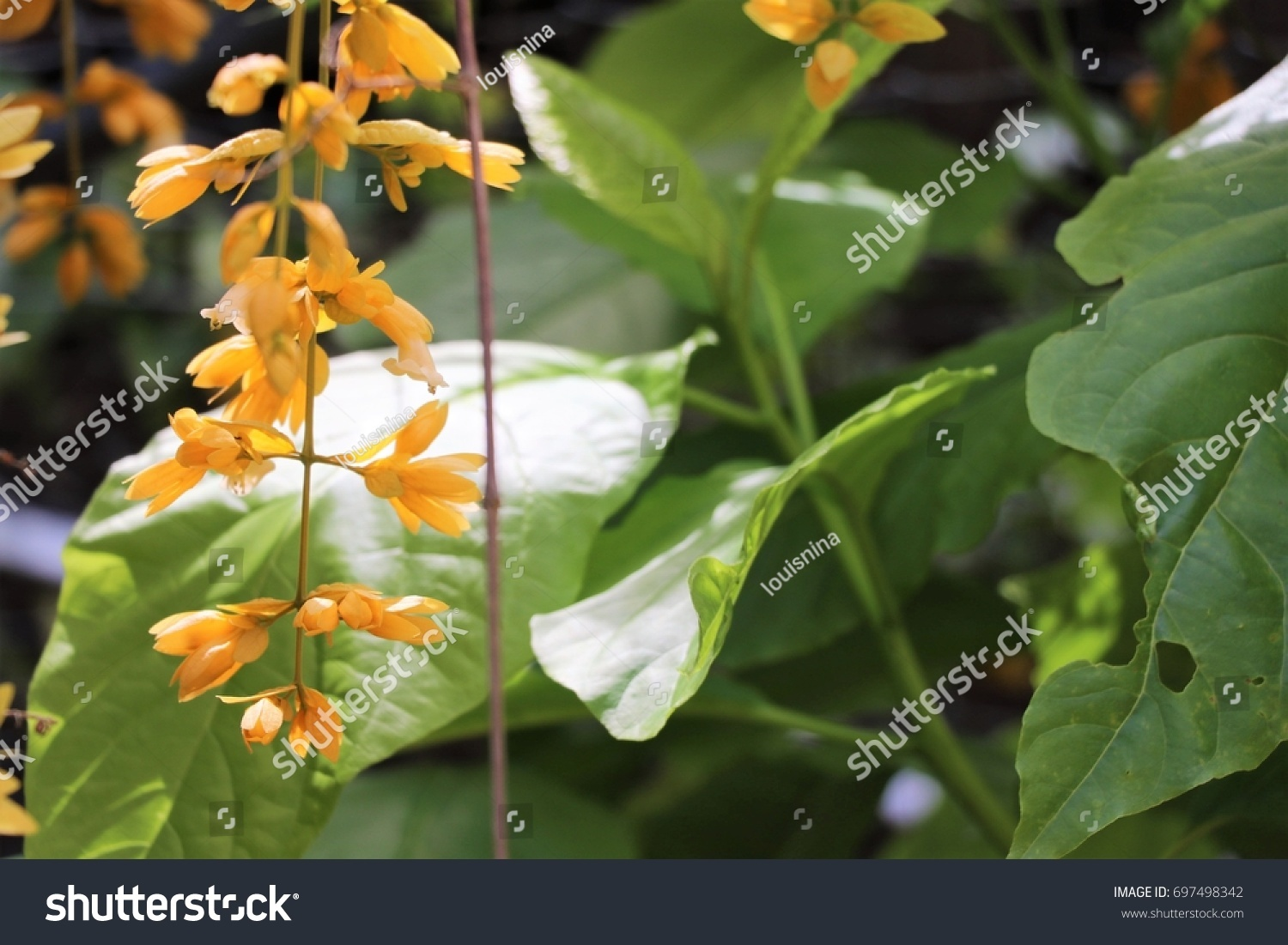 Beautiful Yellow Flowers Leaves Vine Verbenaceae Stock Photo Edit