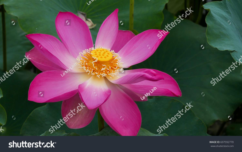 Beautiful lotus flower garden stock photo 697592770 shutterstock beautiful lotus flower in garden izmirmasajfo Images