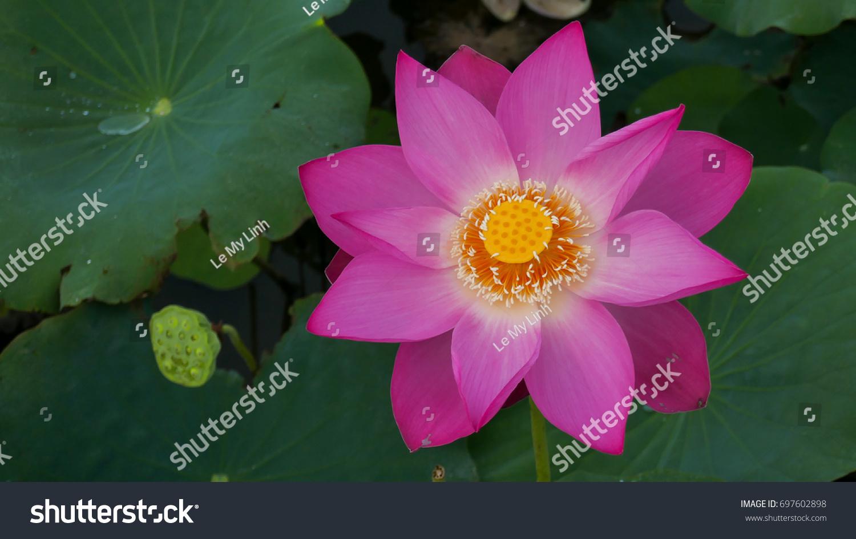 Single lotus flower background lotus leaf stock photo edit now single lotus flower background is the lotus leaf and lotus flower and lotus bud izmirmasajfo