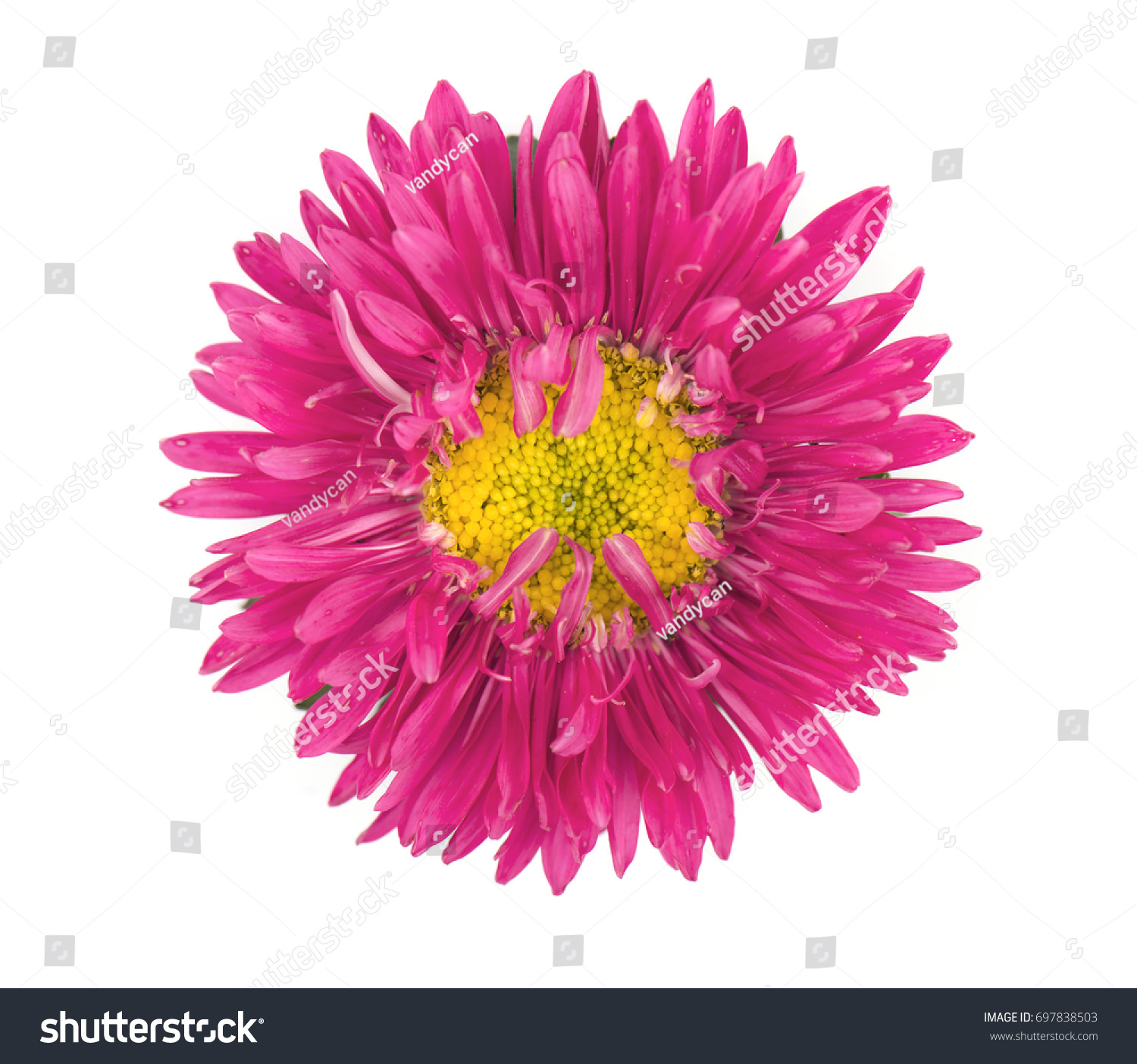 Purple aster flower isolated on white stock photo edit now purple aster flower isolated on white background close up of violet aster mightylinksfo