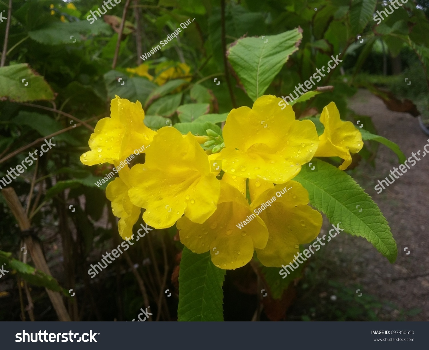 Bermuda Butter Cup Flowers Stock Photo Royalty Free 697850650
