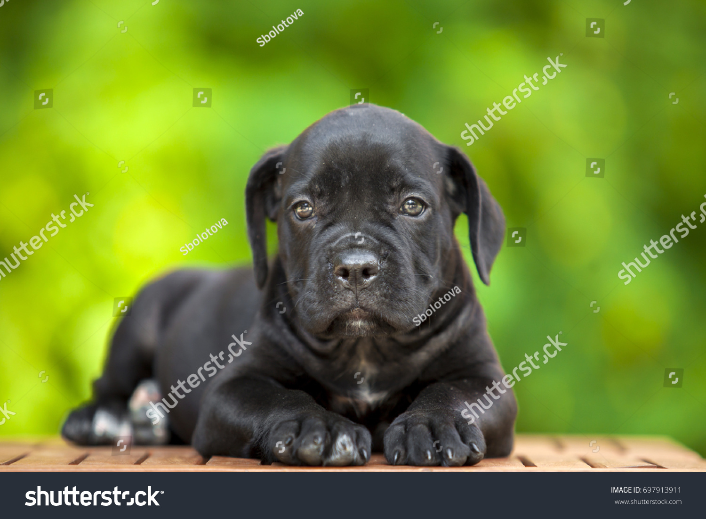 Corso Puppy