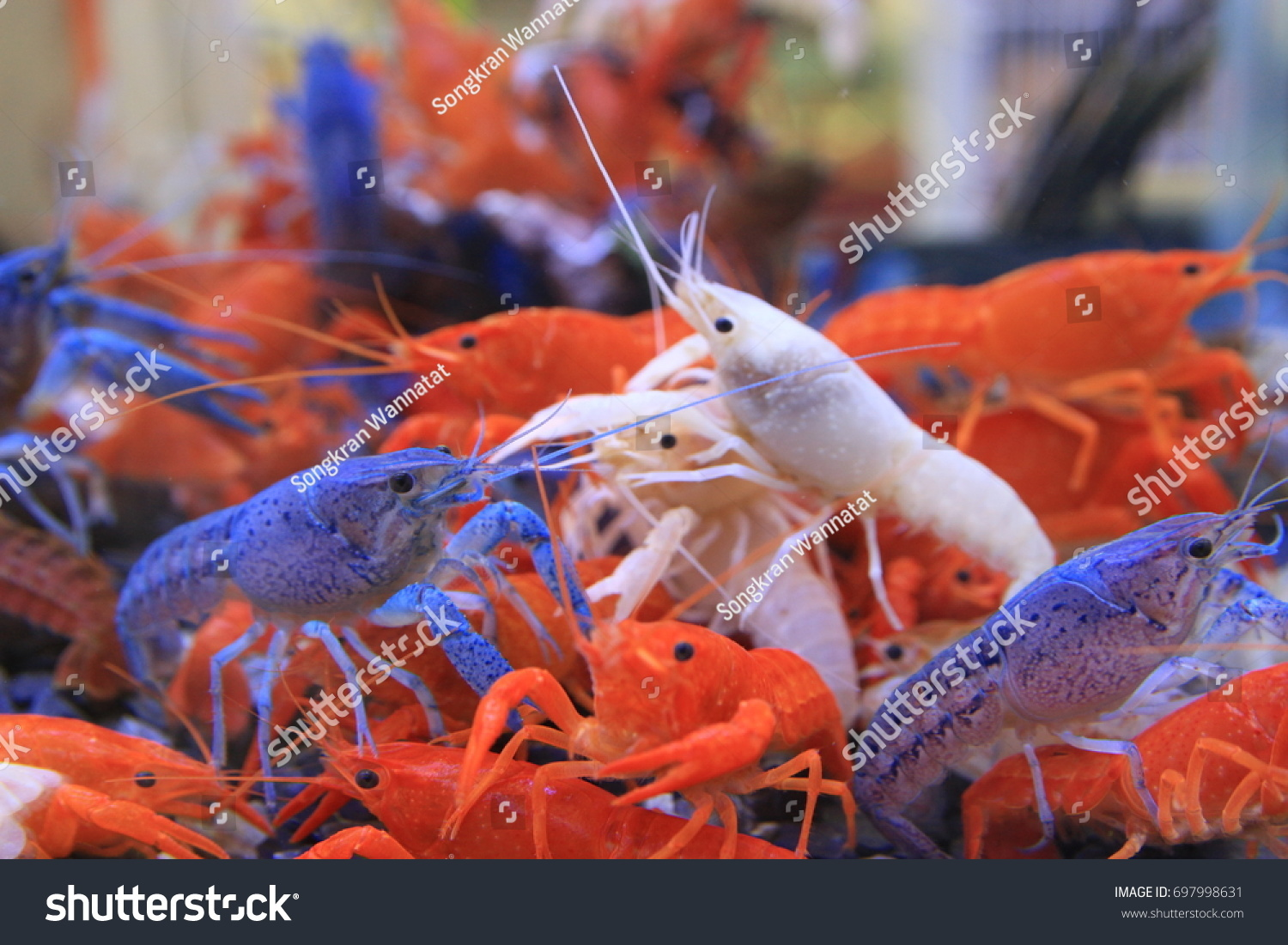 Simple Crayfish Slough Off Change Color Stock Photo (Royalty Free ...