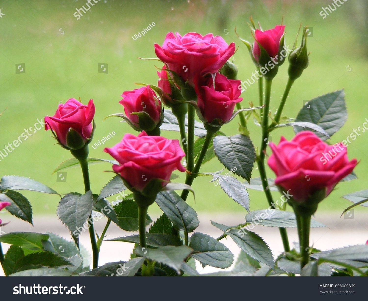 Home Flowers House Plants Red Pink Stock Photo Edit Now 698000869