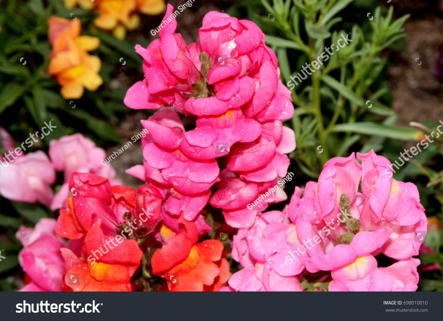 Antirrhinum Majus Pink Snapdragon Dog Flower Stock Photo Royalty