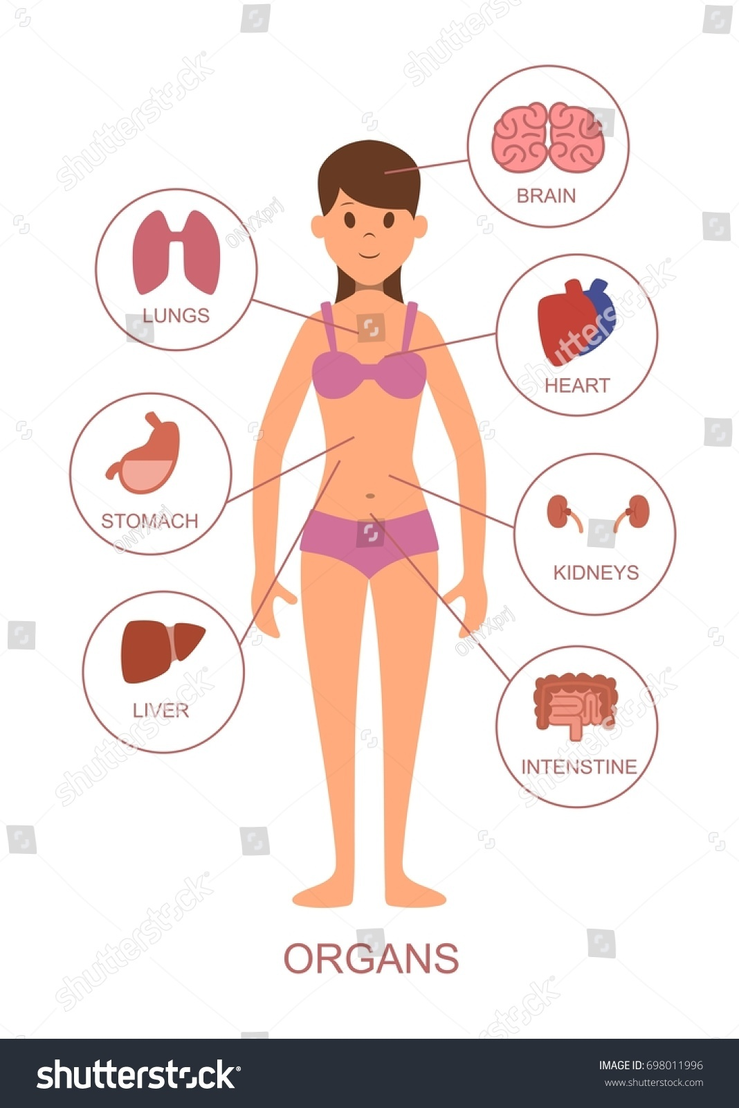 Internal Organs Human Body Anatomy Female Stock Illustration ...