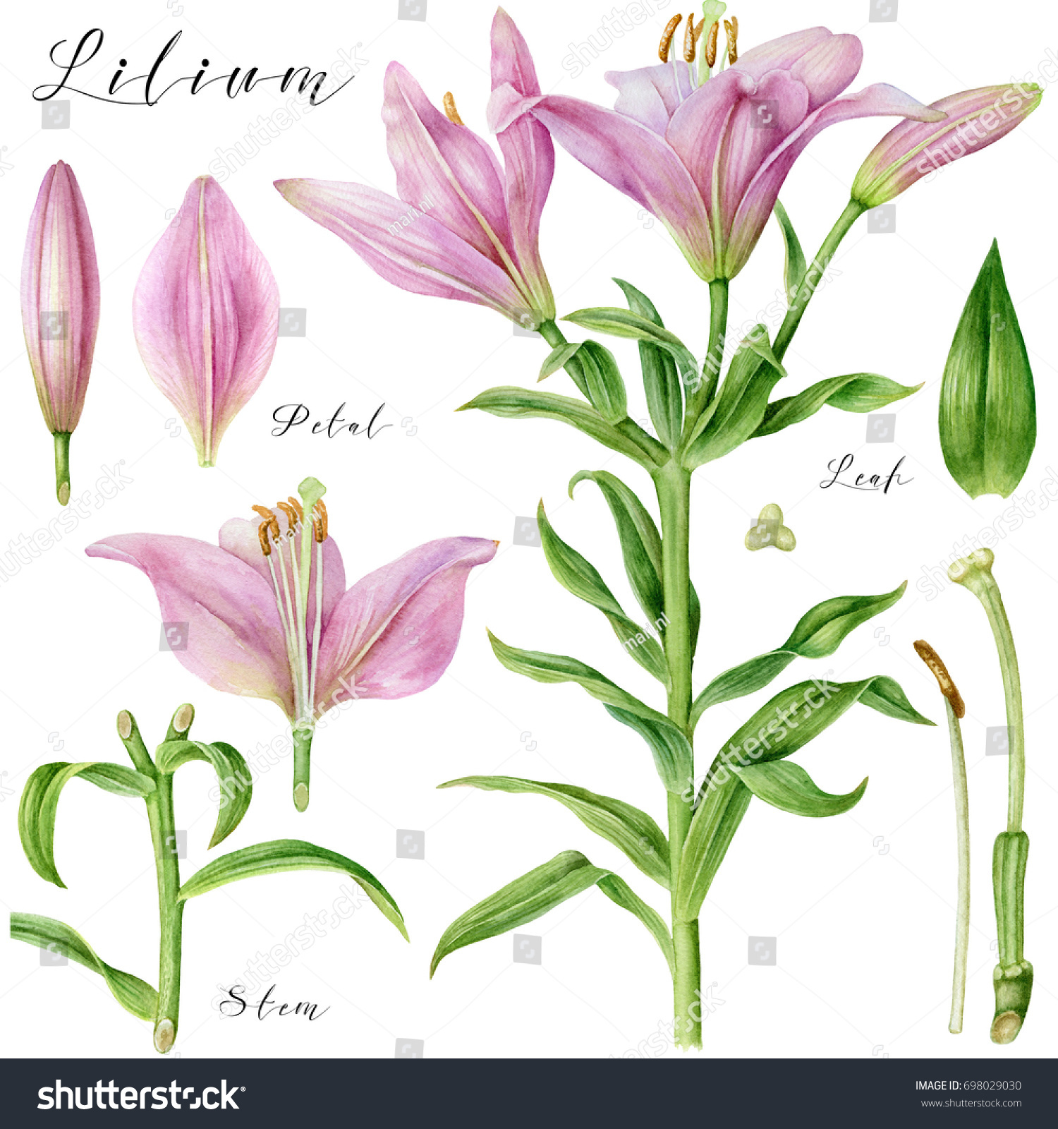 Botanical Art Watercolor Pink Pale Lily Stock Illustration 698029030