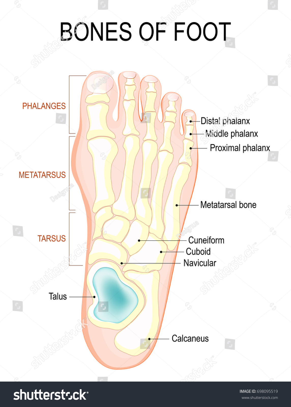 Bones Foot Human Anatomy Diagram Shows Stock Vektorgrafik