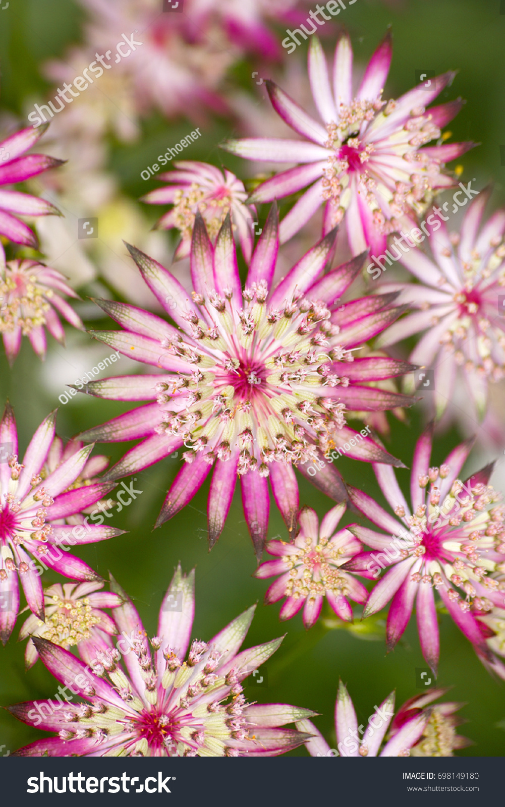 Redpink Blooming Astrantia Major Ruby Star Stock Photo Edit Now