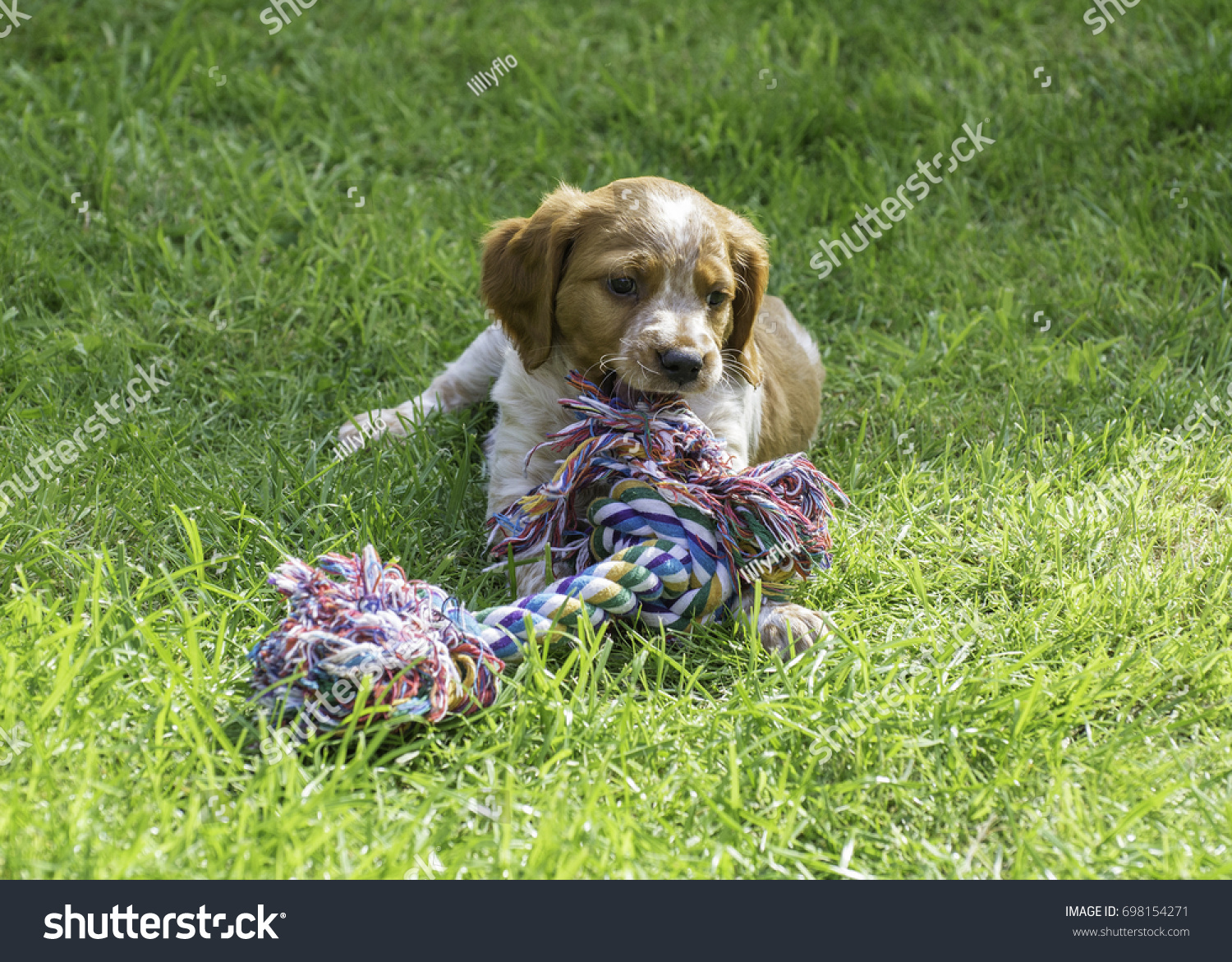 French Brittany Spaniel Puppy Rope Toy Stock Photo Edit Now 698154271