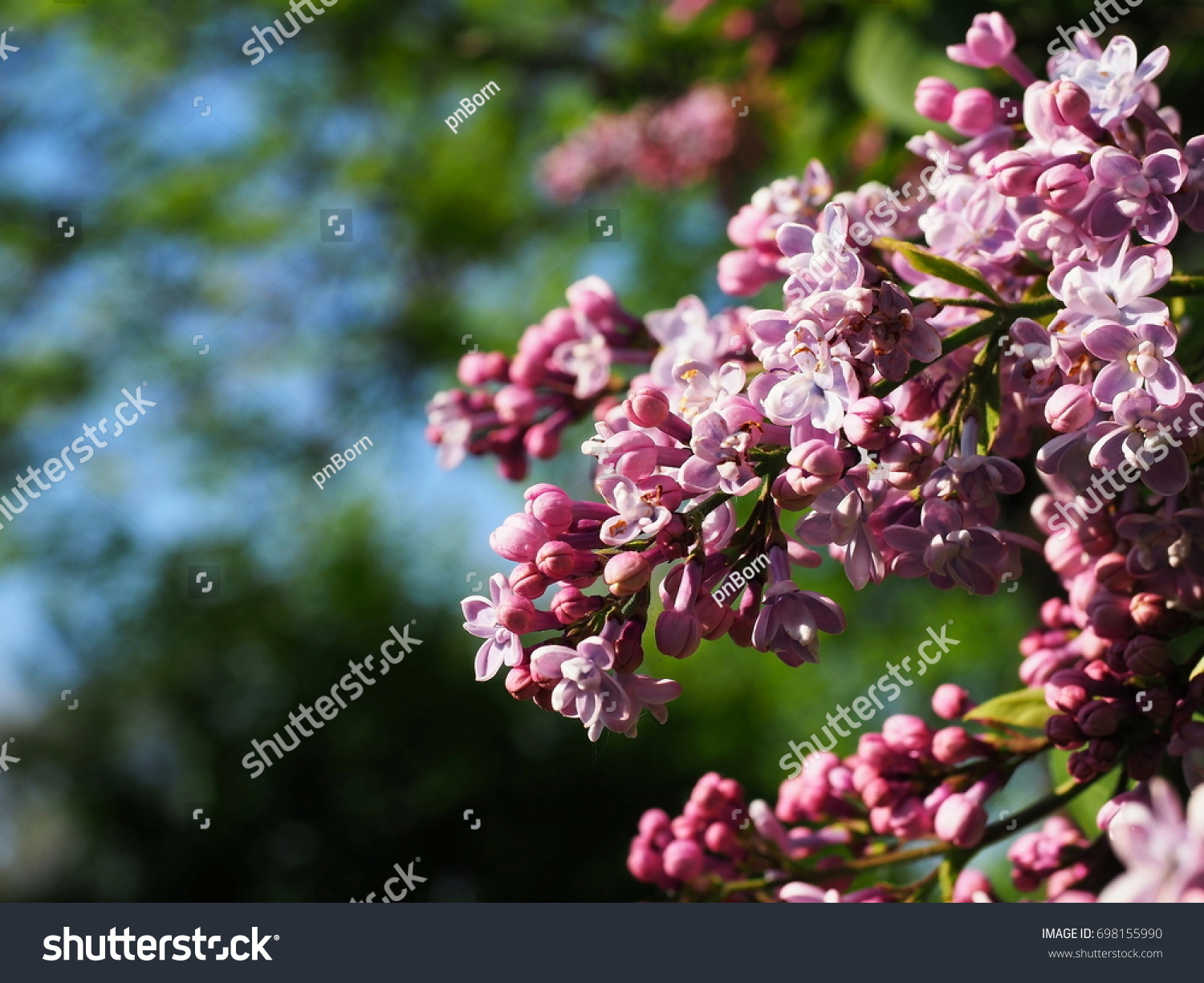 The Background From The Blooming Bushes Of The Lilac At The City