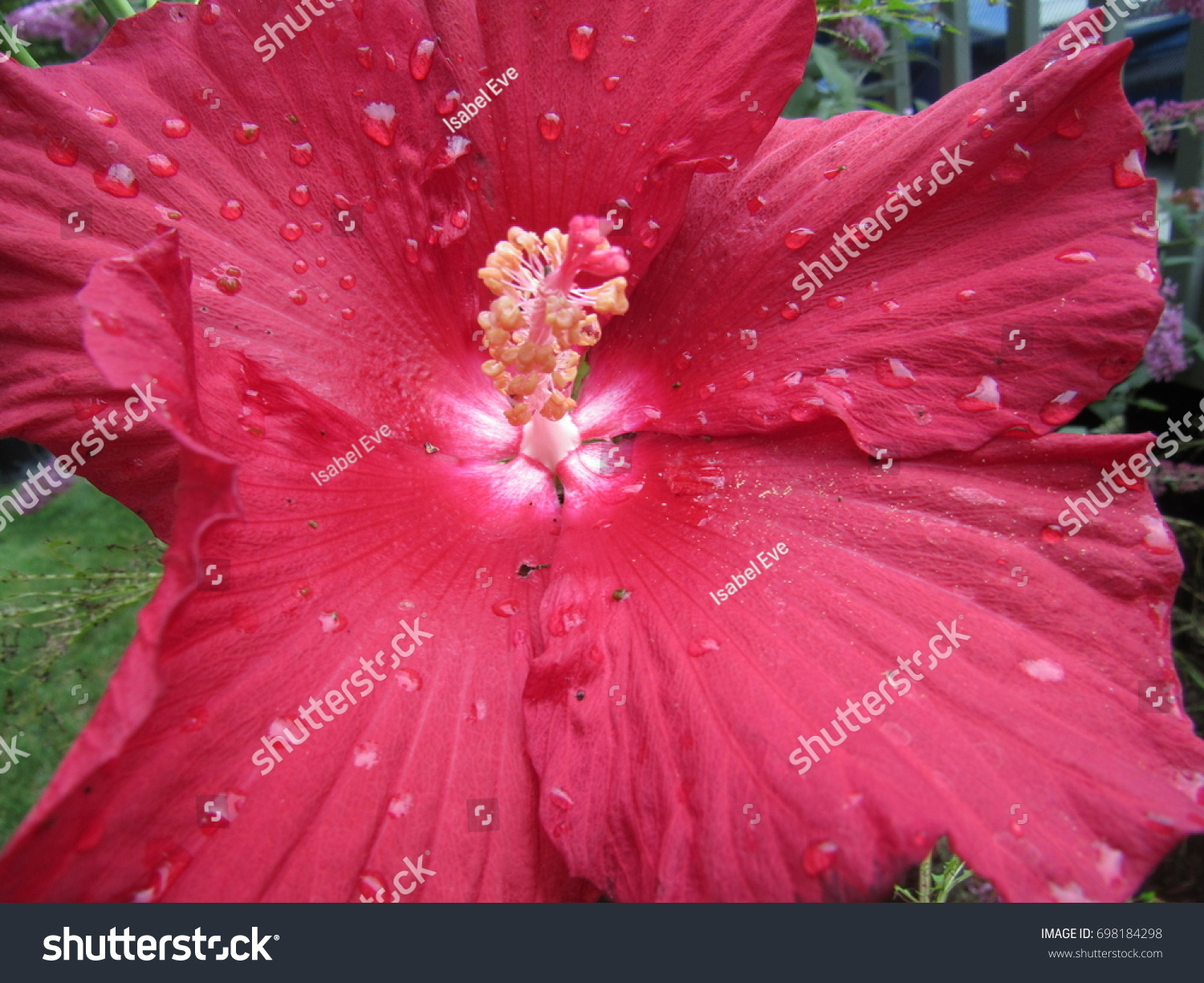 Close Red Hibiscus Flower Water Drops Stock Photo Edit Now
