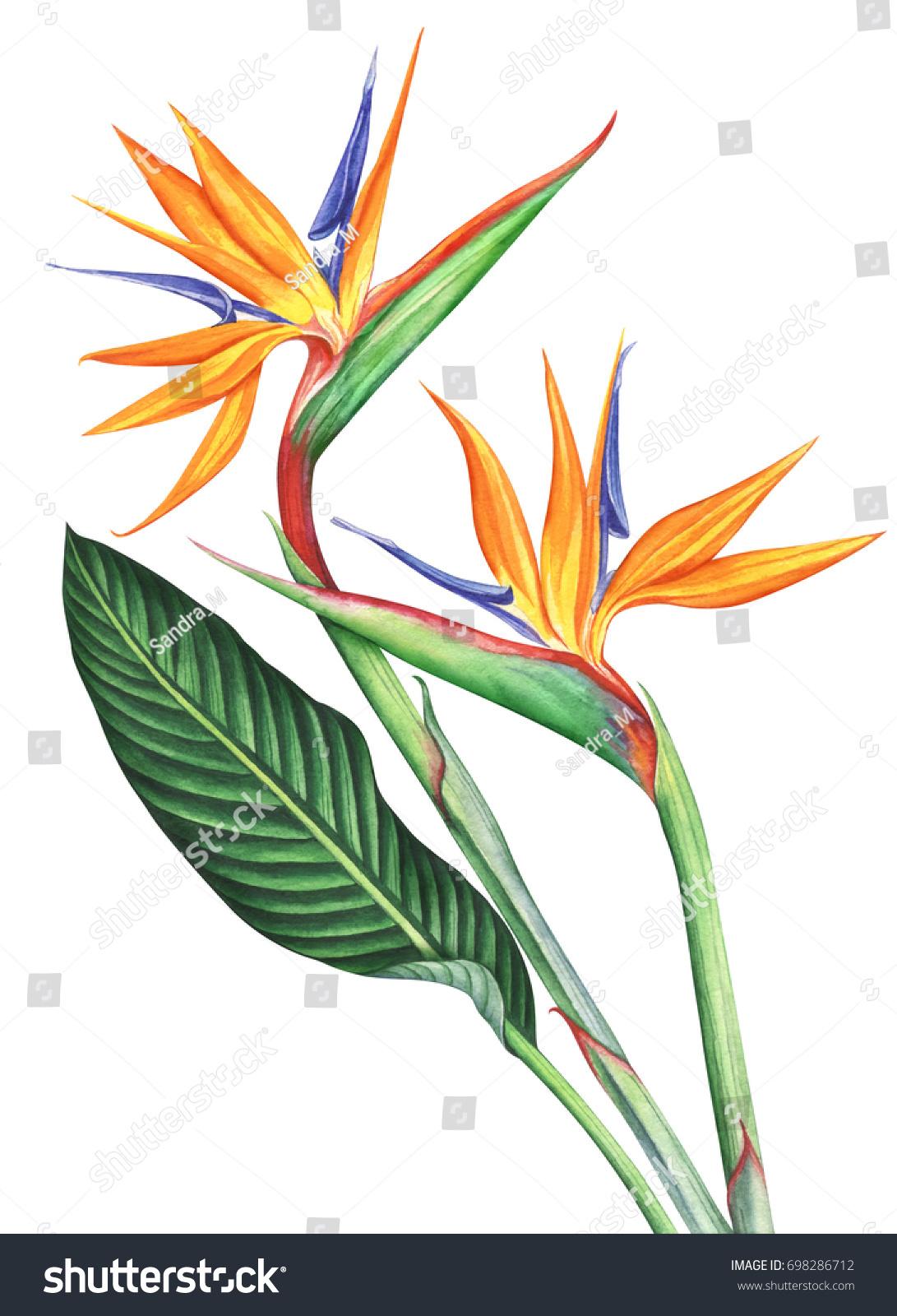 Bird paradise flowers isolated on white stock illustration bird of paradise flowers isolated on white background hand drawn watercolor illustration buycottarizona