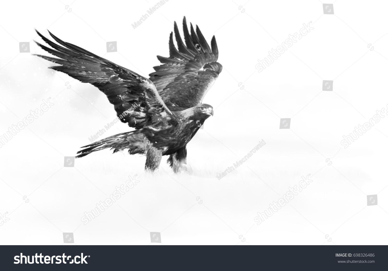 Artistic black and white photo of golden eagle aquila chrysaetos big bird of