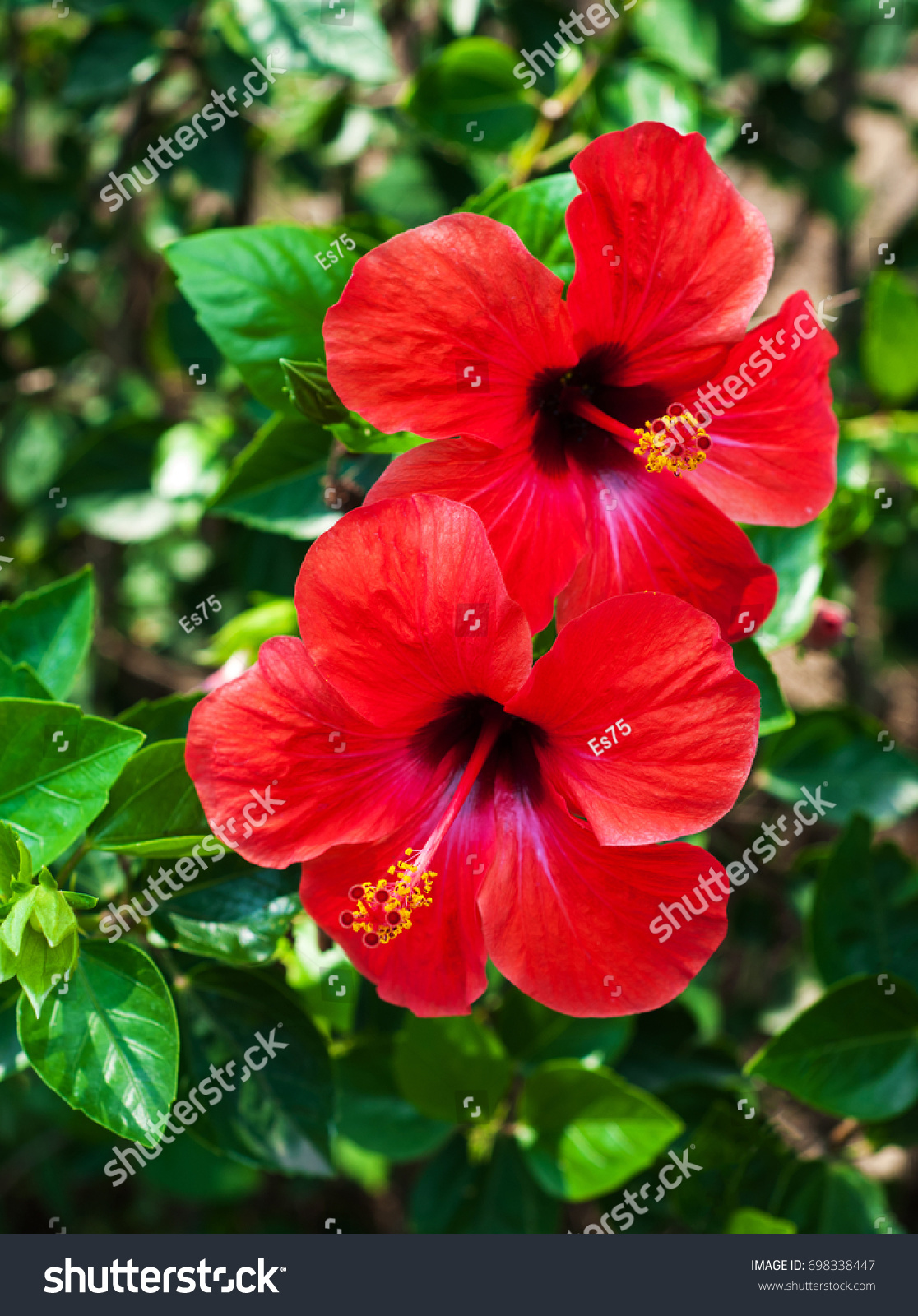 Red Hibiscus Flowers On A Natural Green Background Ez Canvas