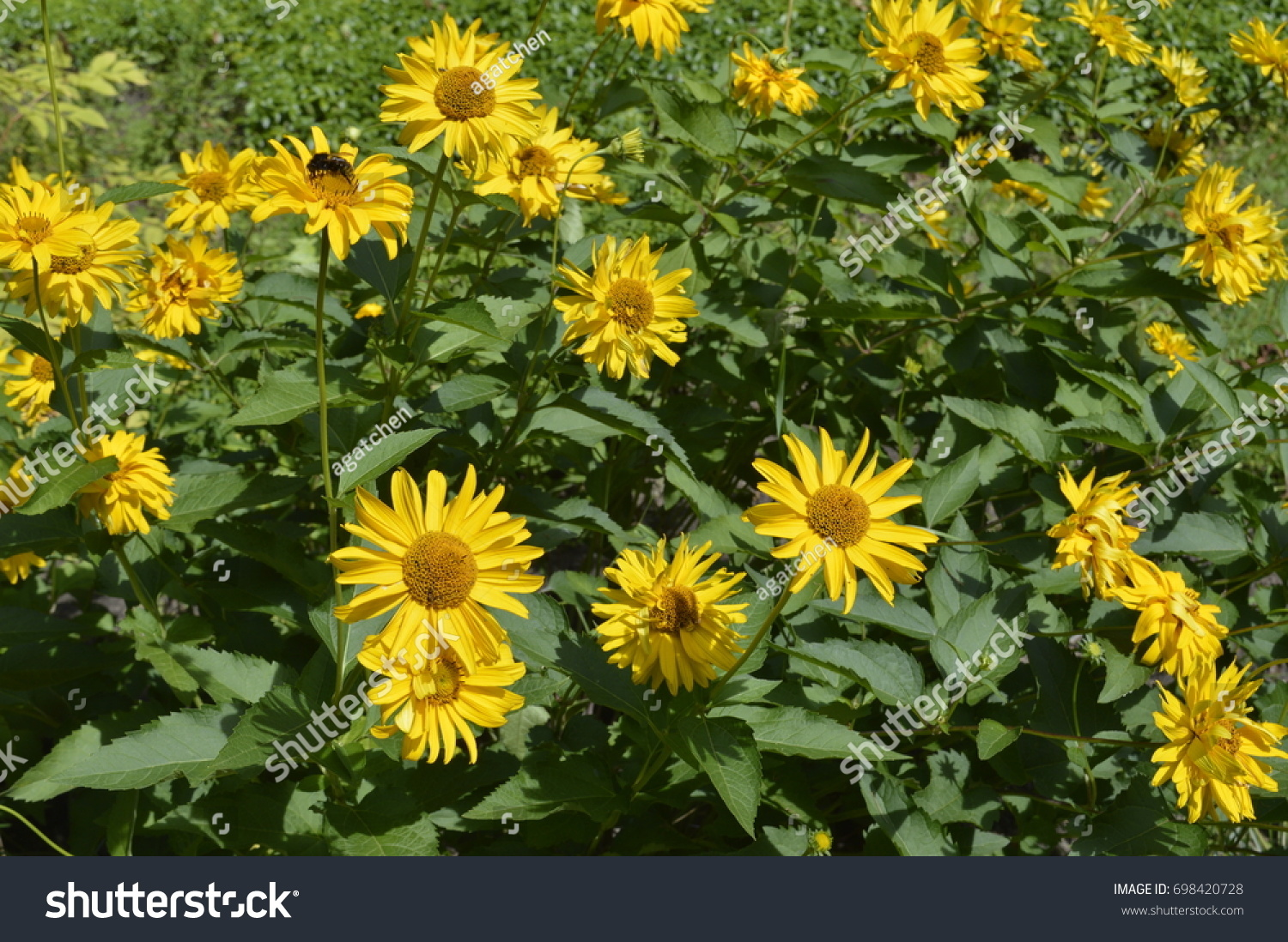 Beautiful tall flowers like yellow daisies stock photo edit now beautiful tall flowers like yellow daisies izmirmasajfo