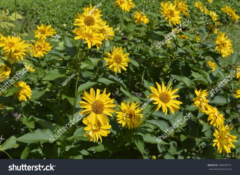Beautiful tall flowers like yellow daisies stock photo 698420731 beautiful tall flowers like yellow daisies izmirmasajfo