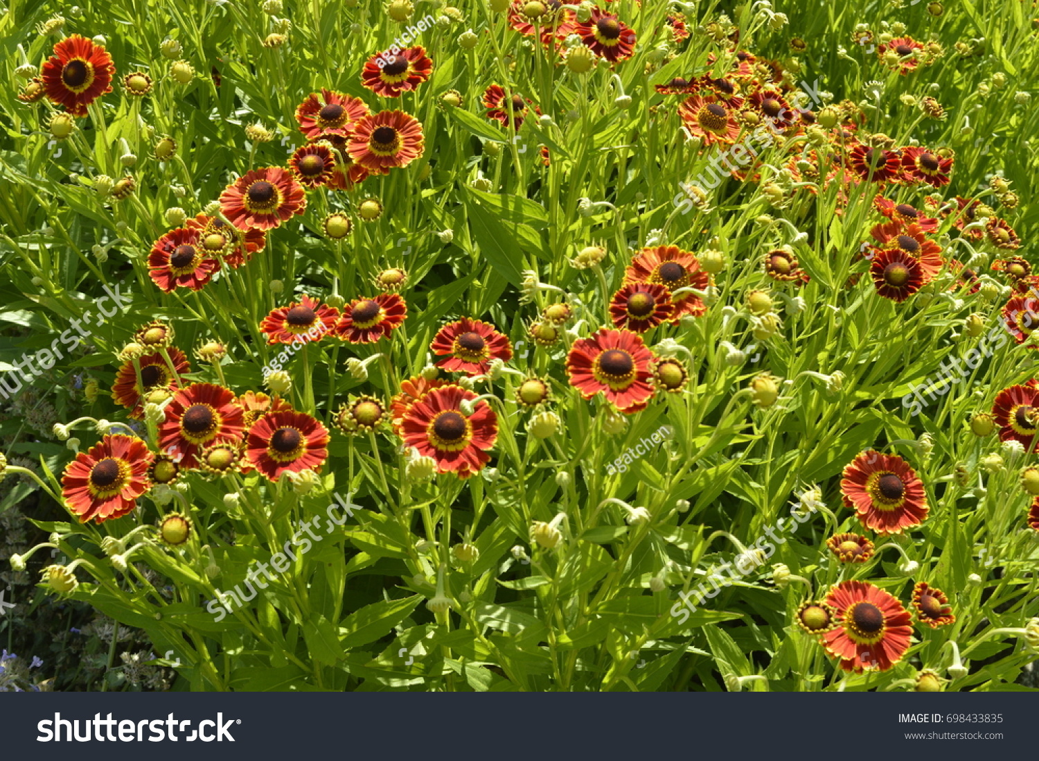 Beautiful Tall Flowers Like Orange And Red Daisies Ez Canvas