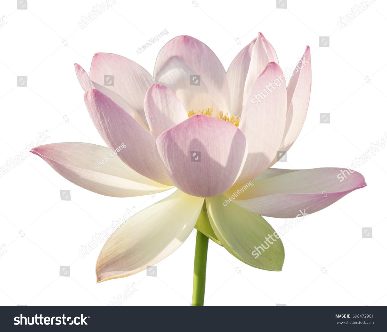 Lotus flower isolated on white background ez canvas id 698472961 izmirmasajfo