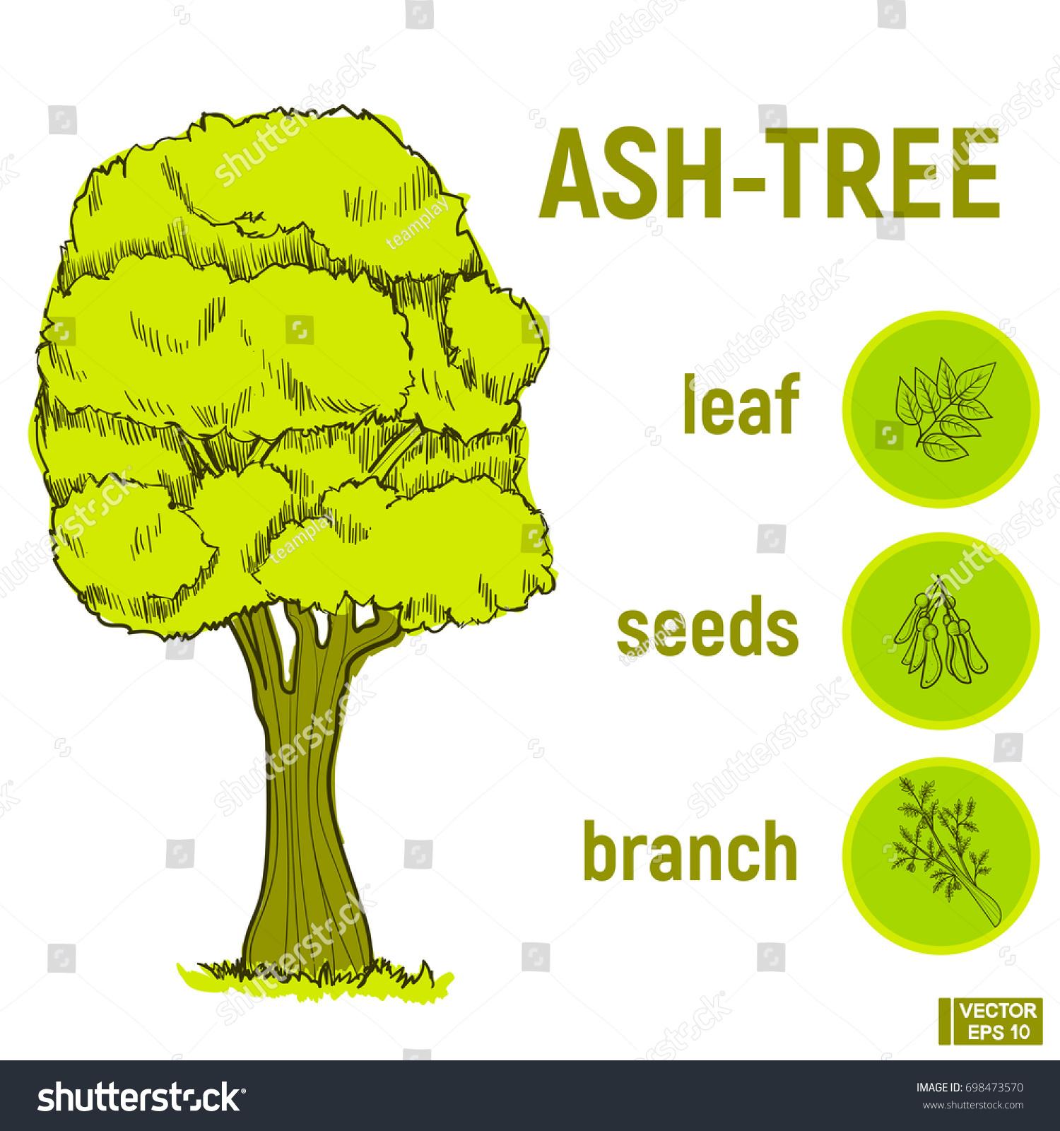 Vector Illustration Color Green Sketch Tree Stock Vector 698473570 ...