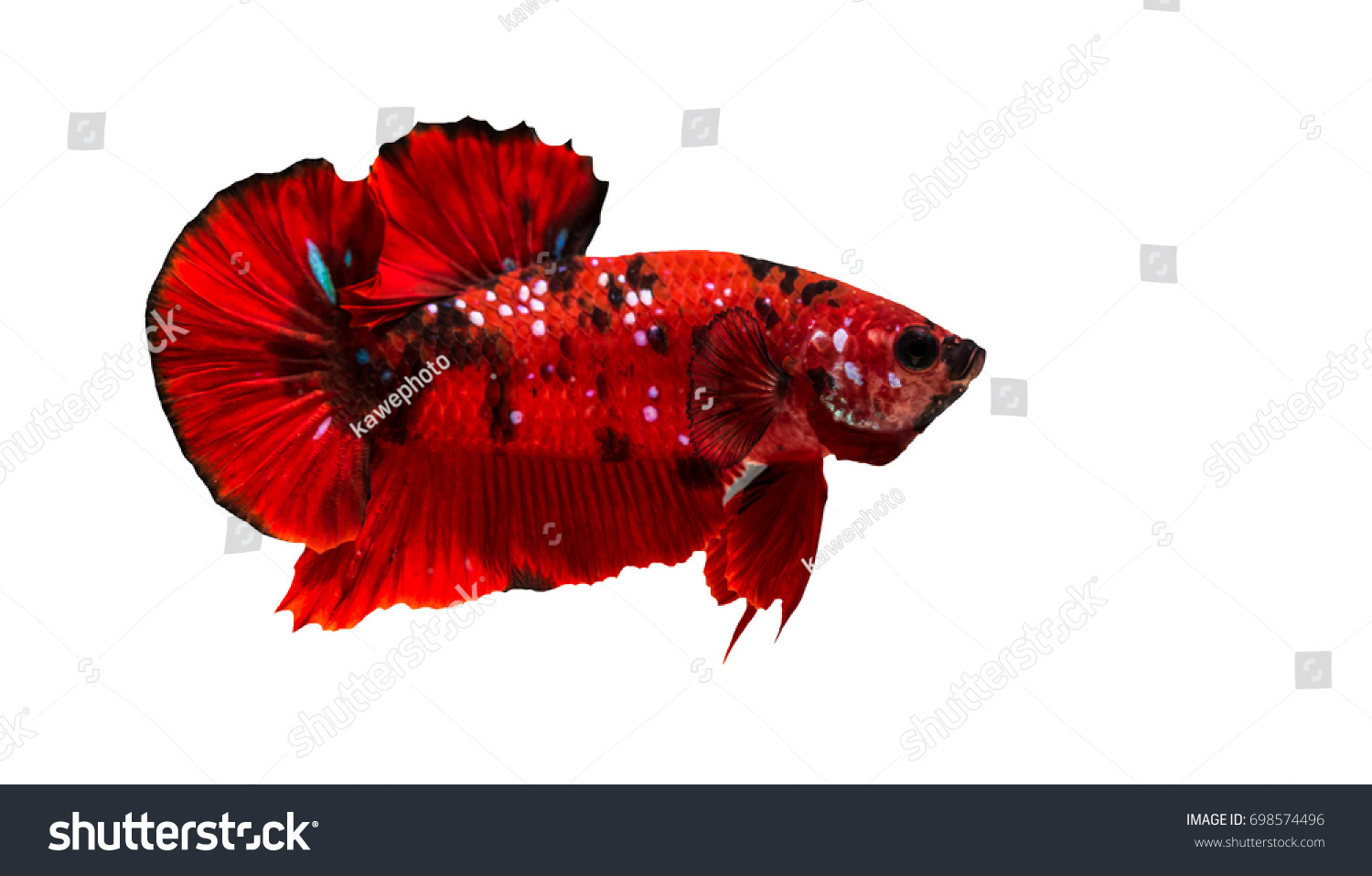 Betta Fight Fish Beautifully Colored Closeup Stock Photo (Safe to ...