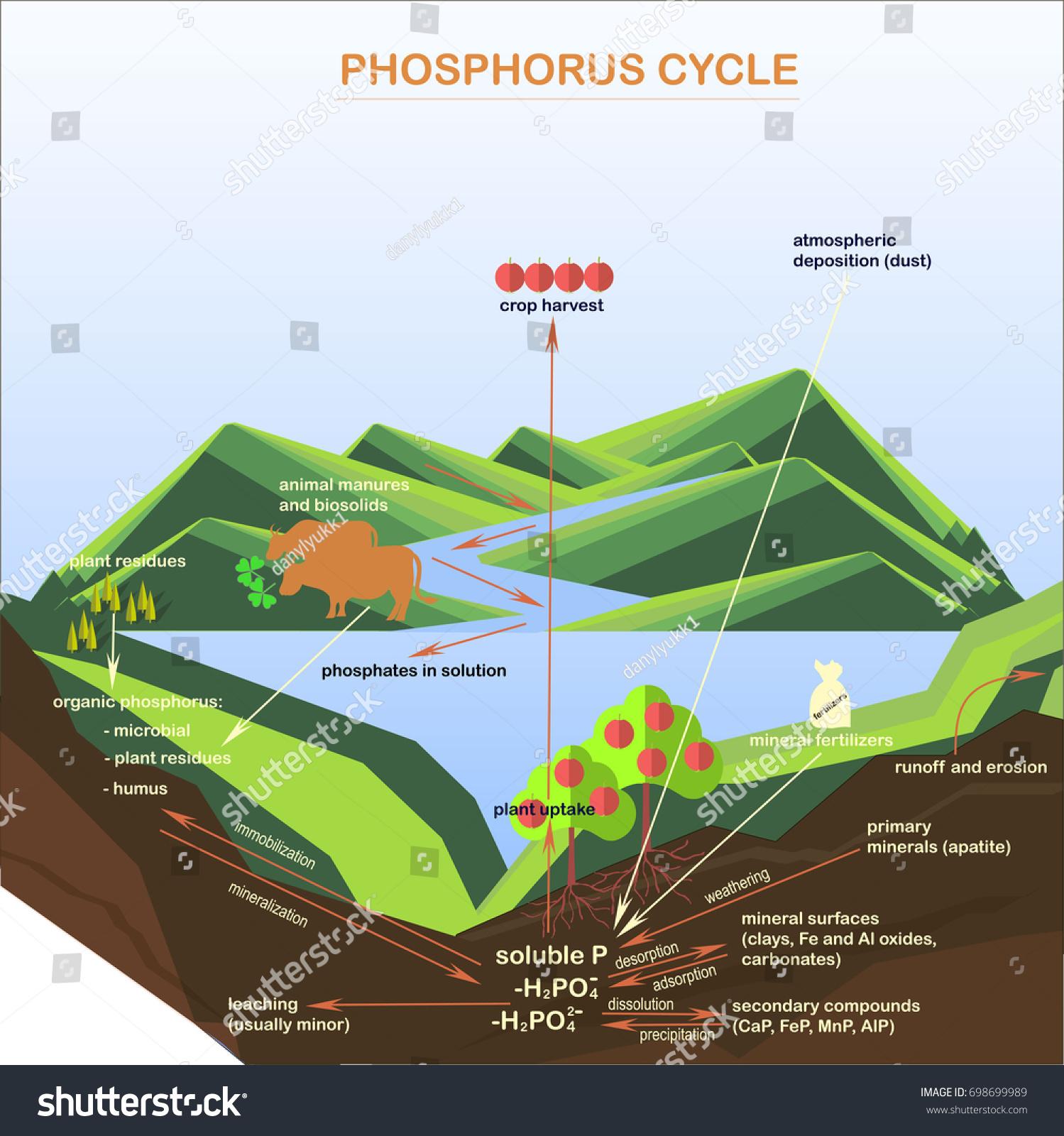 scheme phosphorus cycle flats design vector stock vector (royalty