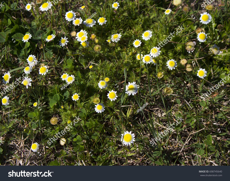 Tiny Cotula Turbinata Funnel Weed Flowers Stock Photo Edit Now