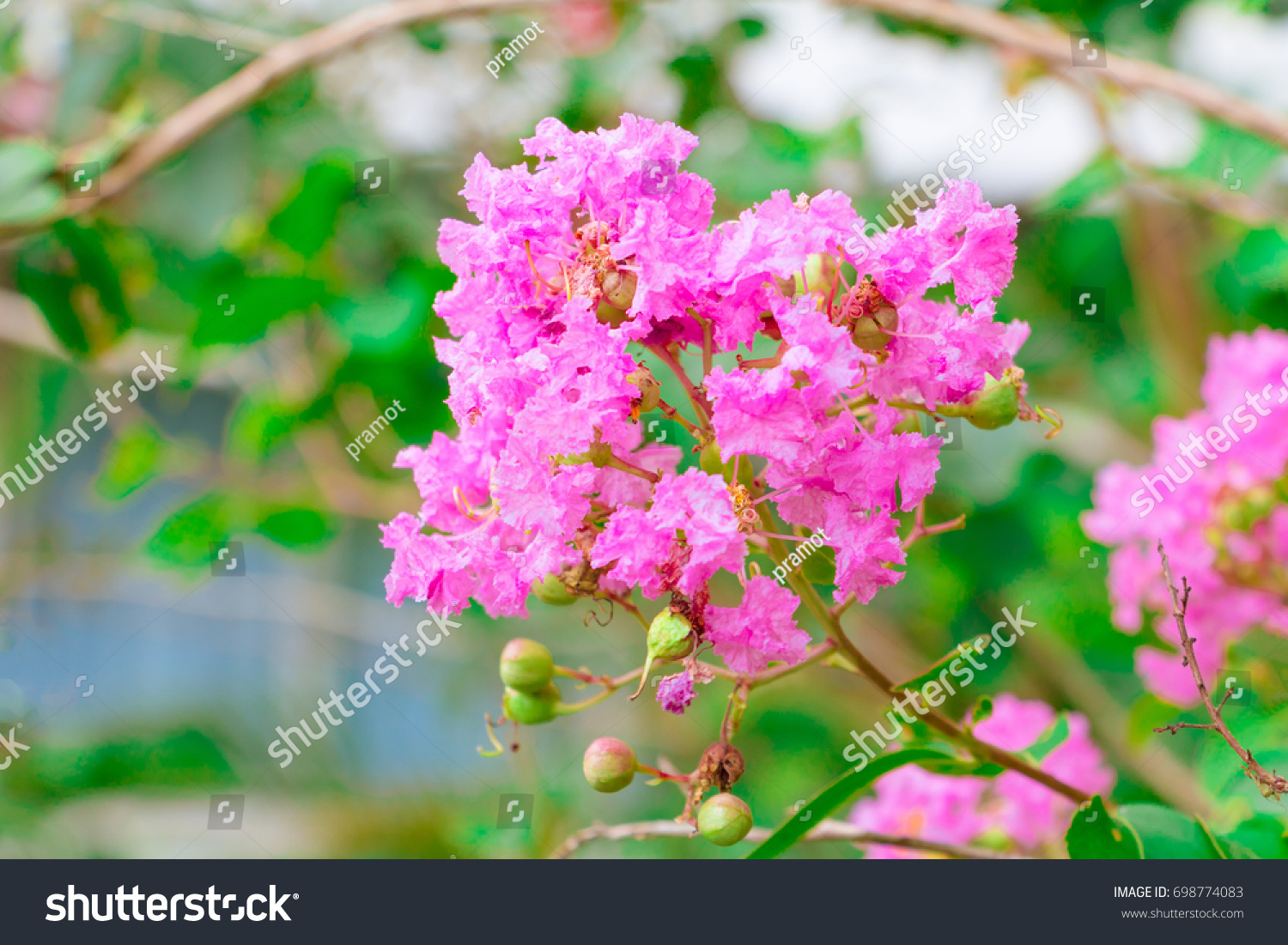 Flower pink crape myrtle lagerstroemia speciosa stock photo flower pink crape myrtle lagerstroemia speciosa or jarul with copy space add text select focus with nvjuhfo Choice Image