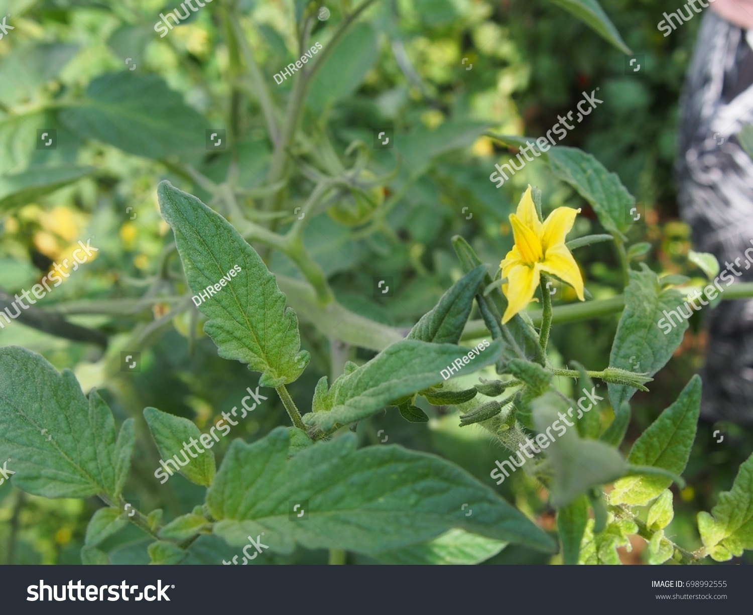 Small Bright Yellow Flower Blossom Tomato Stock Photo Edit Now
