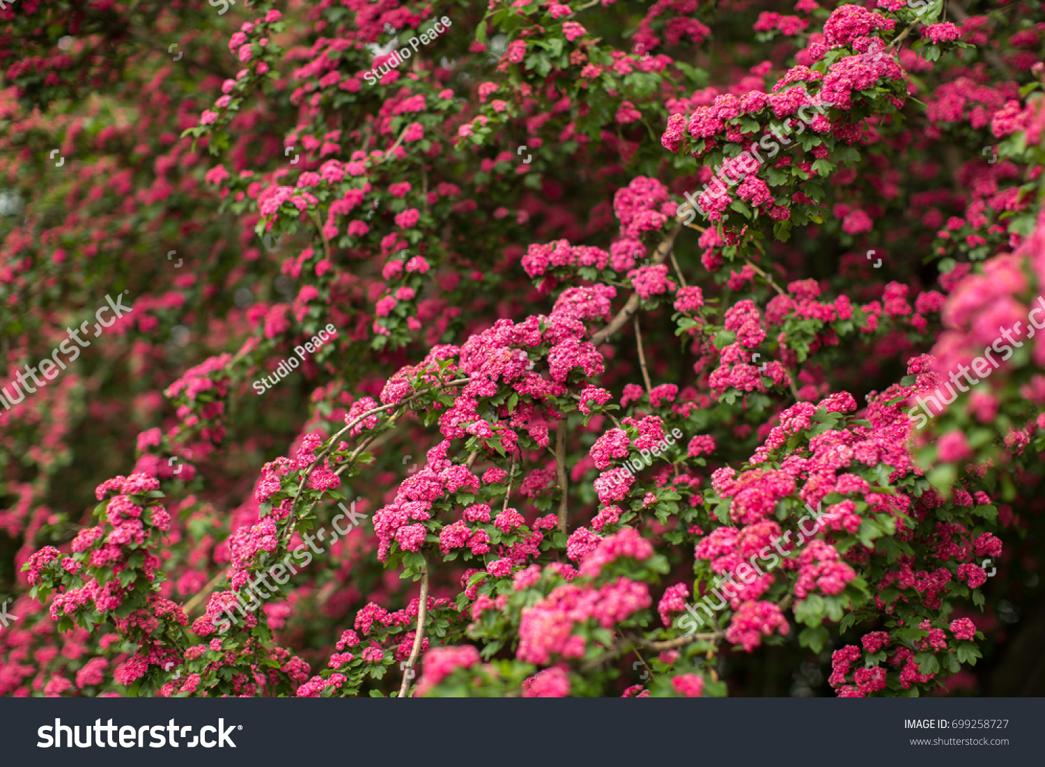 Pink Flowers On Tree Branch Stock Photo Edit Now 699258727