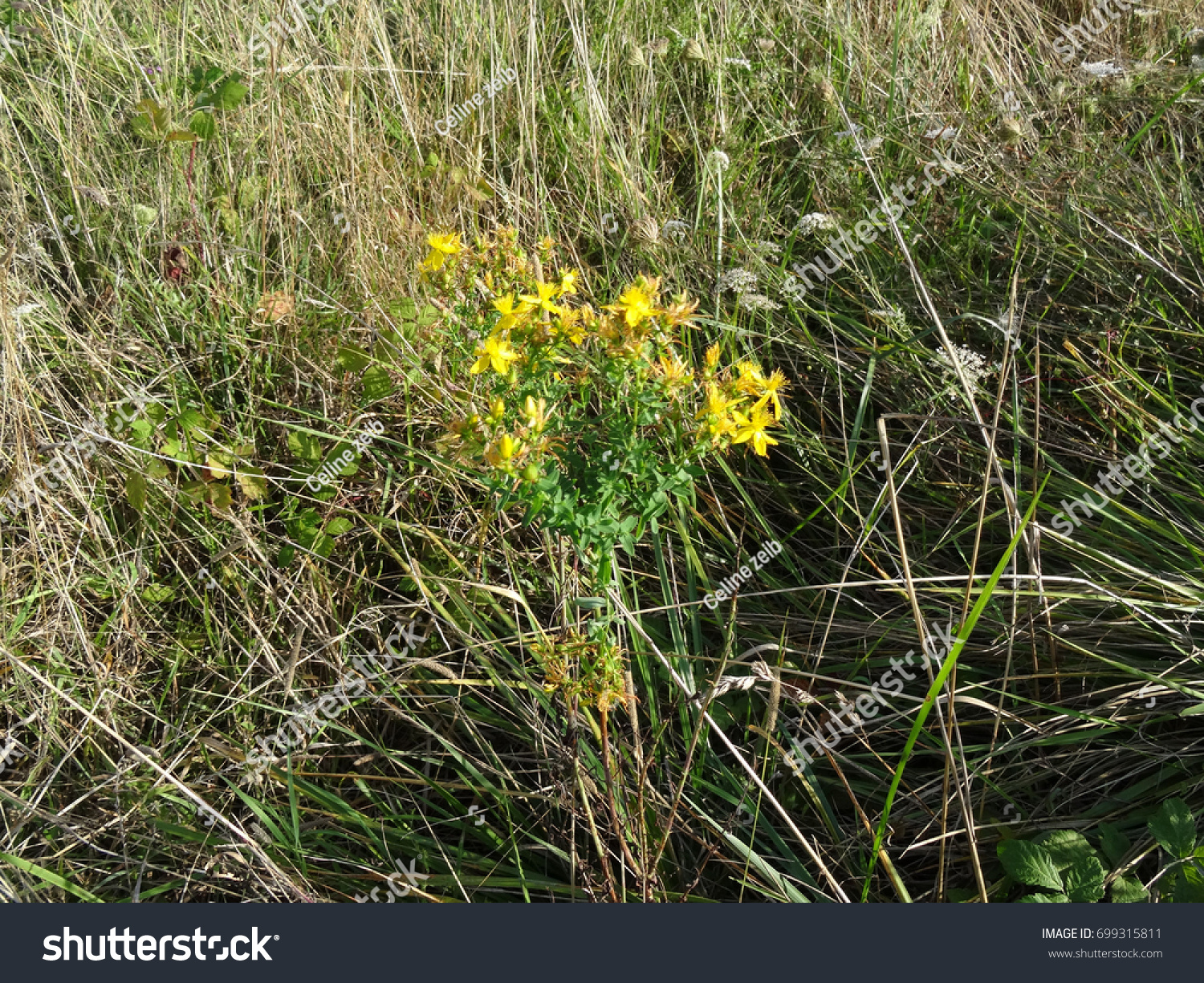 Yellow prickly flowers surrounded by grass stock photo edit now yellow prickly flowers surrounded by grass and weeds on a dry meadow white flowers mightylinksfo