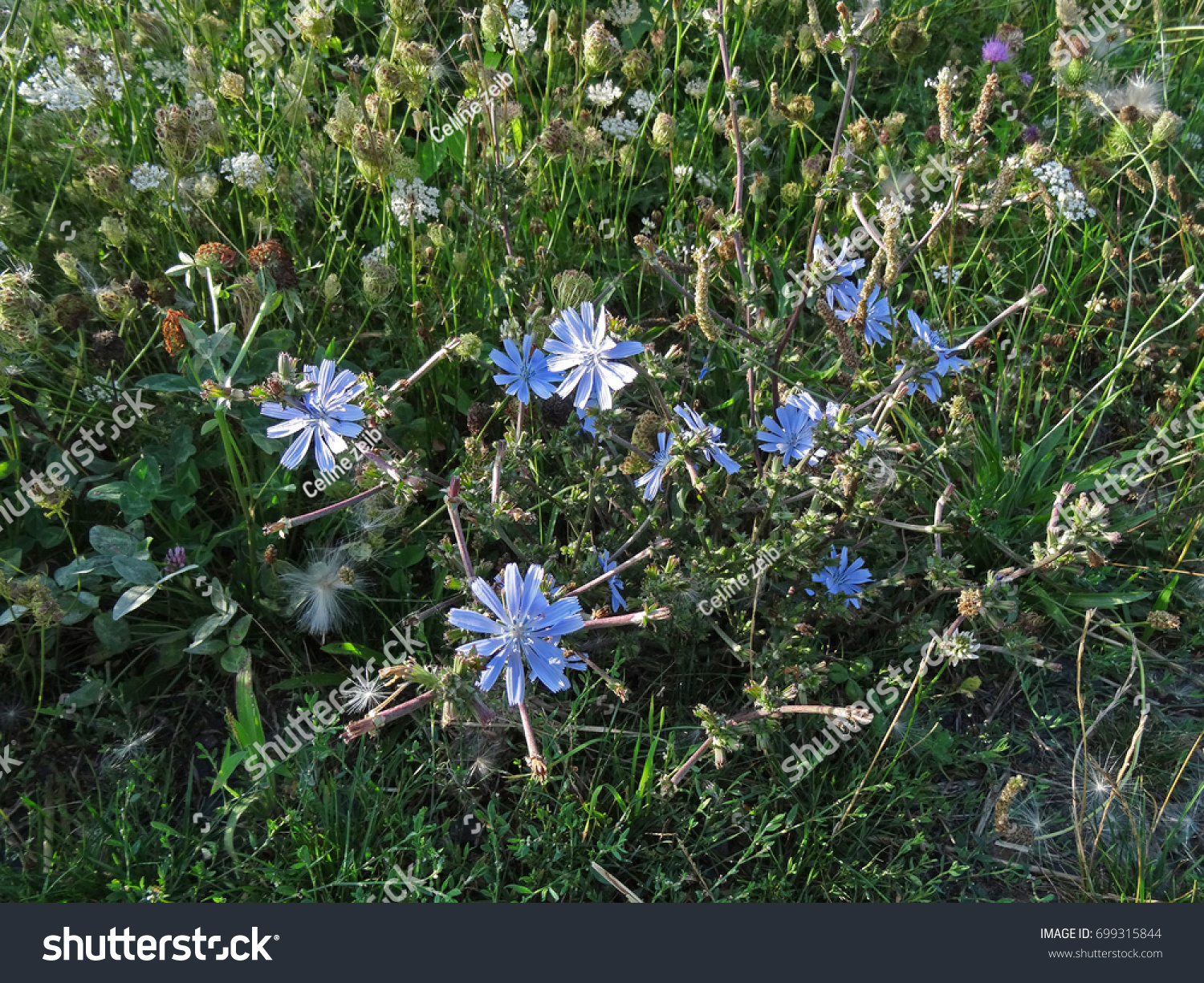 Blues Flowers Surrounded By Grass Weeds Stock Photo Royalty Free