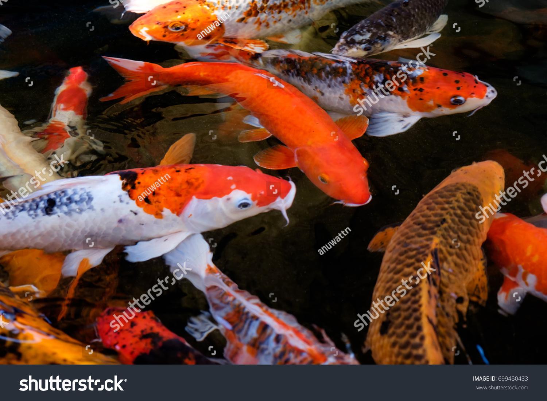 Fancy Carp Koi Fish Japanese Symbolic Stock Photo Edit Now