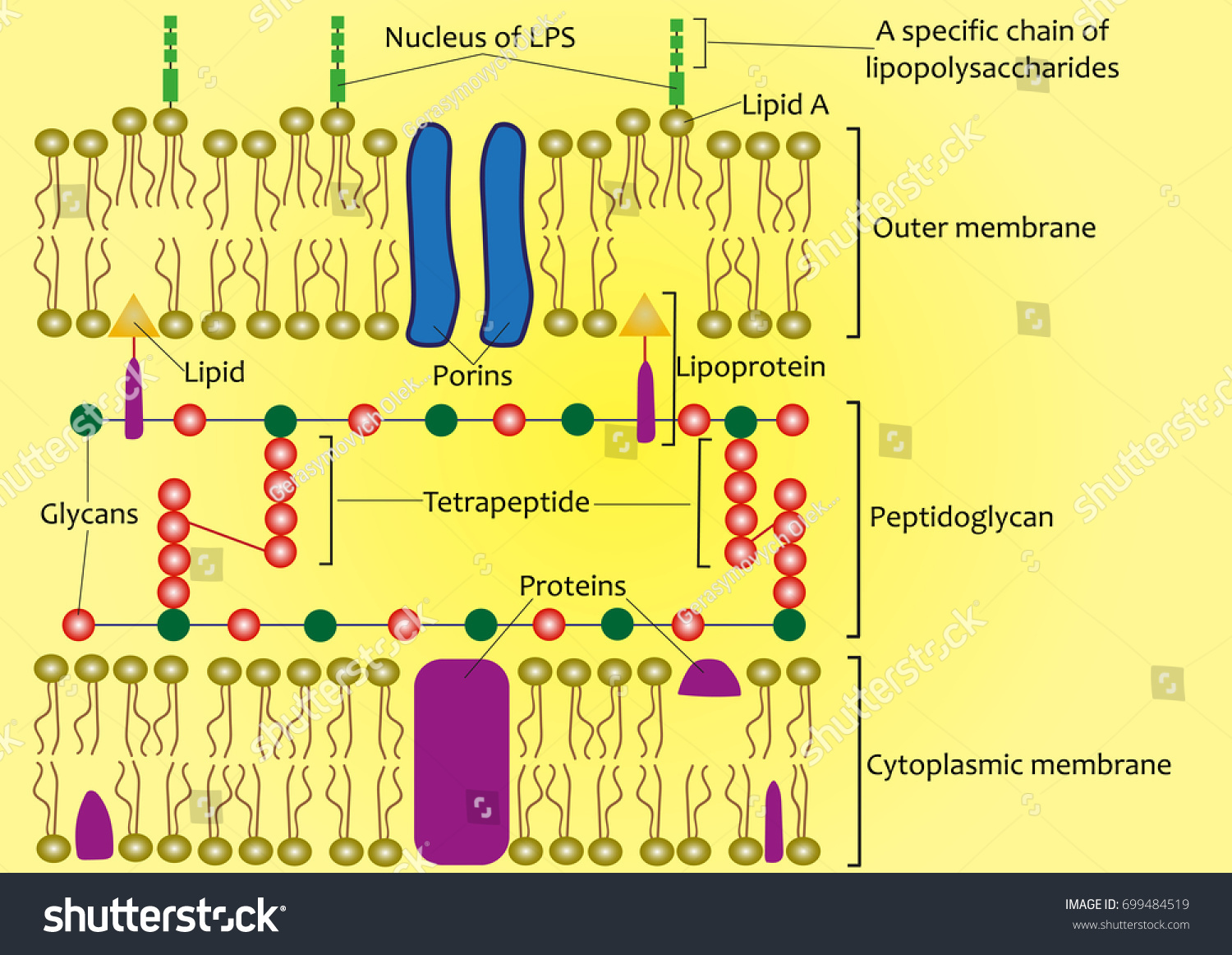 Structure cell wall gramnegative bacteria scheme stock vector structure of the cell wall of gram negative bacteria scheme ccuart Image collections