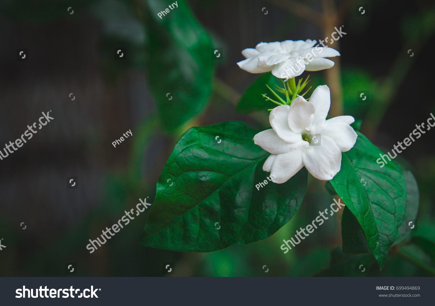 Flower White Color Name Malis Cambodia Stock Photo Edit Now