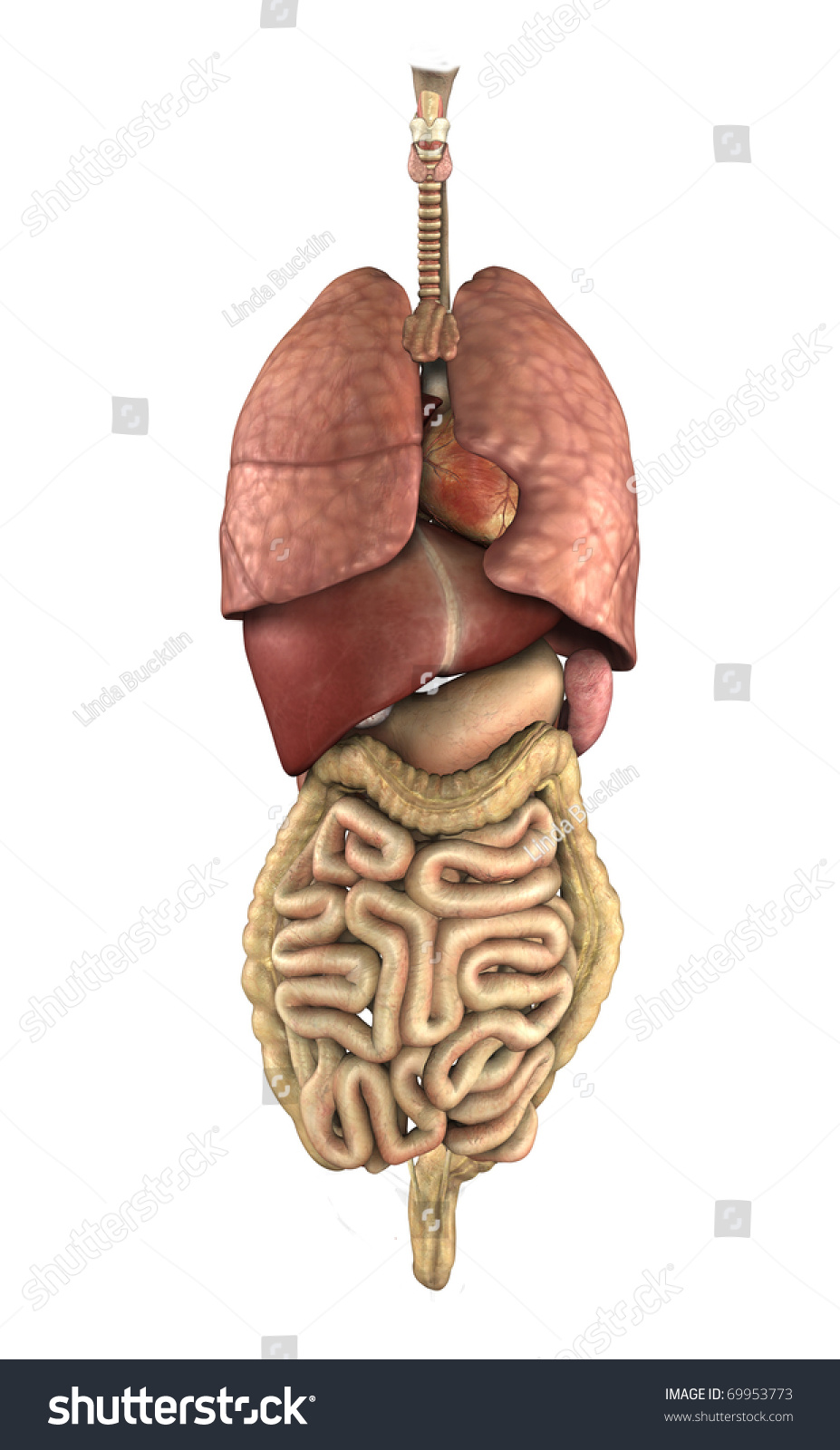 3 D Render Depicting Internal Organs Human Stock Illustration